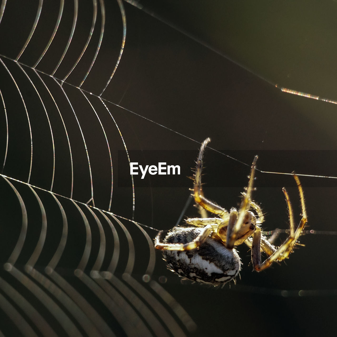 animals in the wild, invertebrate, animal wildlife, insect, close-up, spider web, arachnid, arthropod, spider, animal themes, one animal, animal, fragility, no people, focus on foreground, zoology, nature, outdoors, vulnerability, day, animal leg, black background