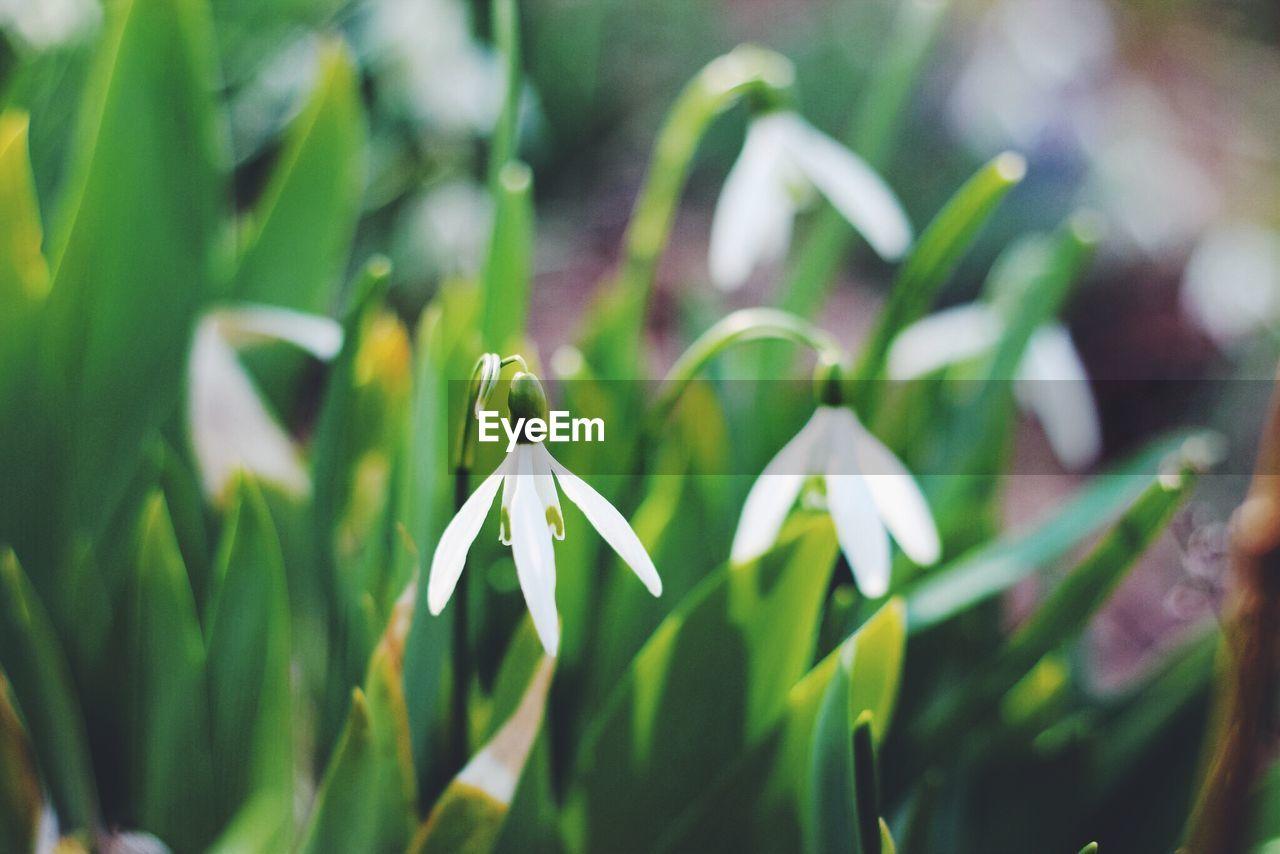 Snowdrop flowers growing in field