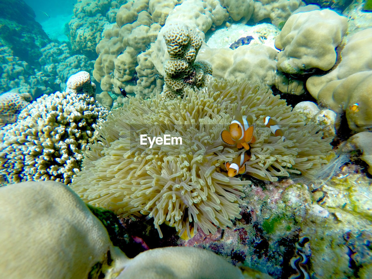 underwater, sea, undersea, sea life, animals in the wild, animal wildlife, water, invertebrate, coral, marine, animal themes, animal, beauty in nature, nature, sea anemone, group of animals, no people, reef, symbiotic relationship, clown fish, ecosystem