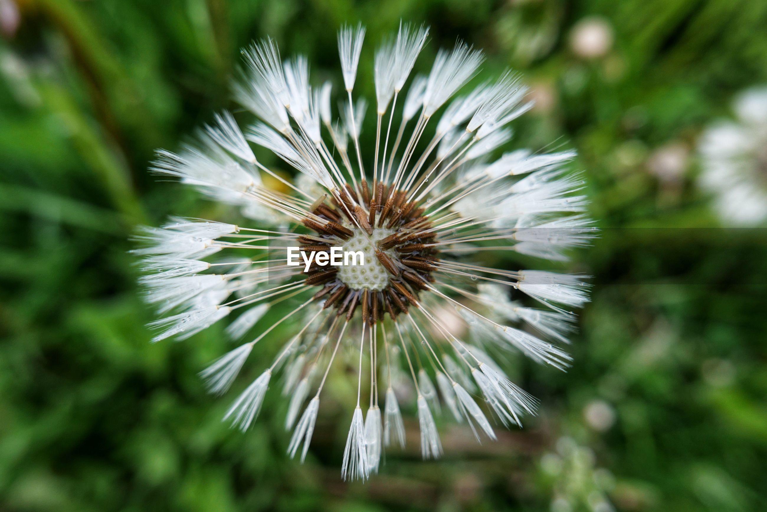 CLOSE-UP OF DANDELION AGAINST WHITE FLOWER