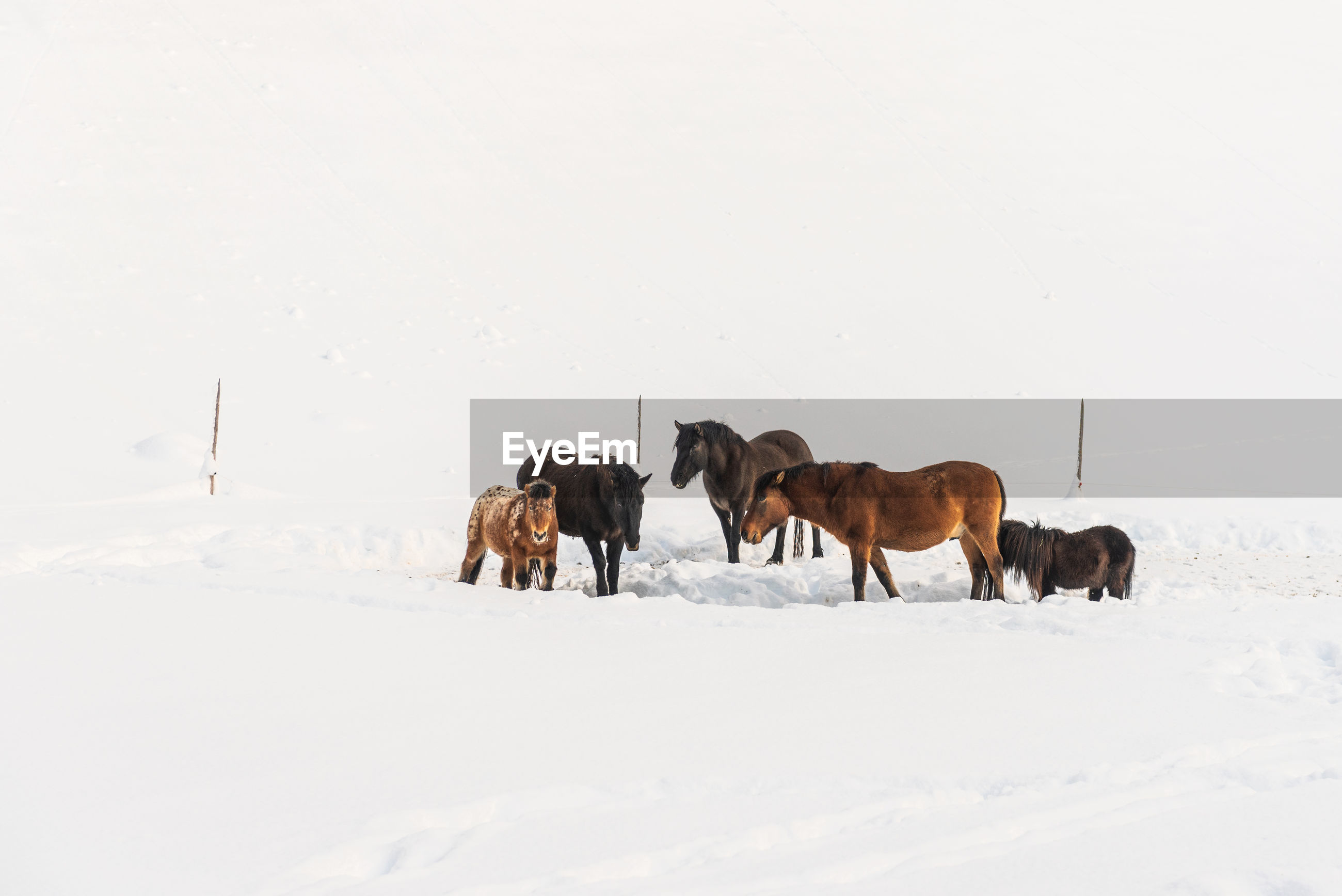 On a winter day a herd of horses standing in a snowy pasture. in the background the paddock fence.