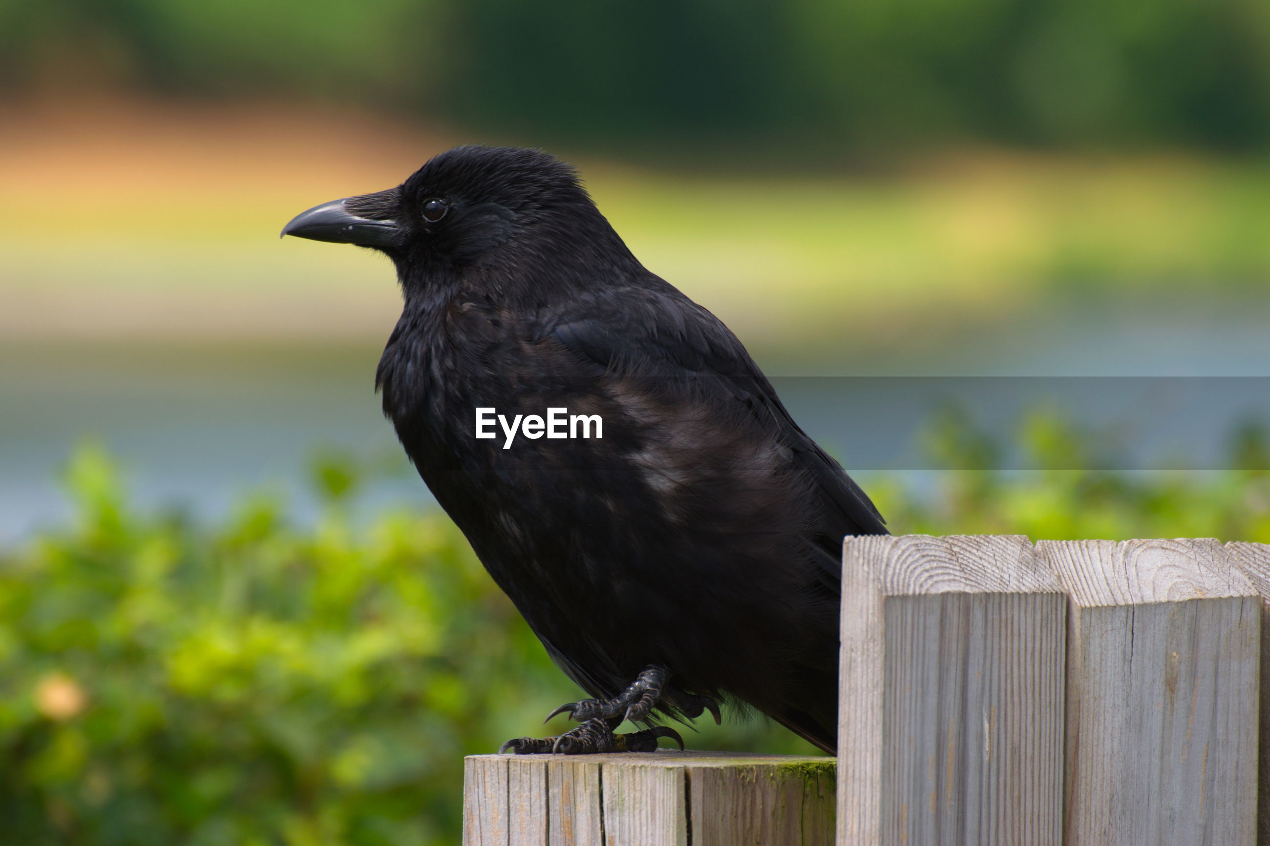 CLOSE-UP OF BLACK BIRD PERCHING ON WOODEN POST
