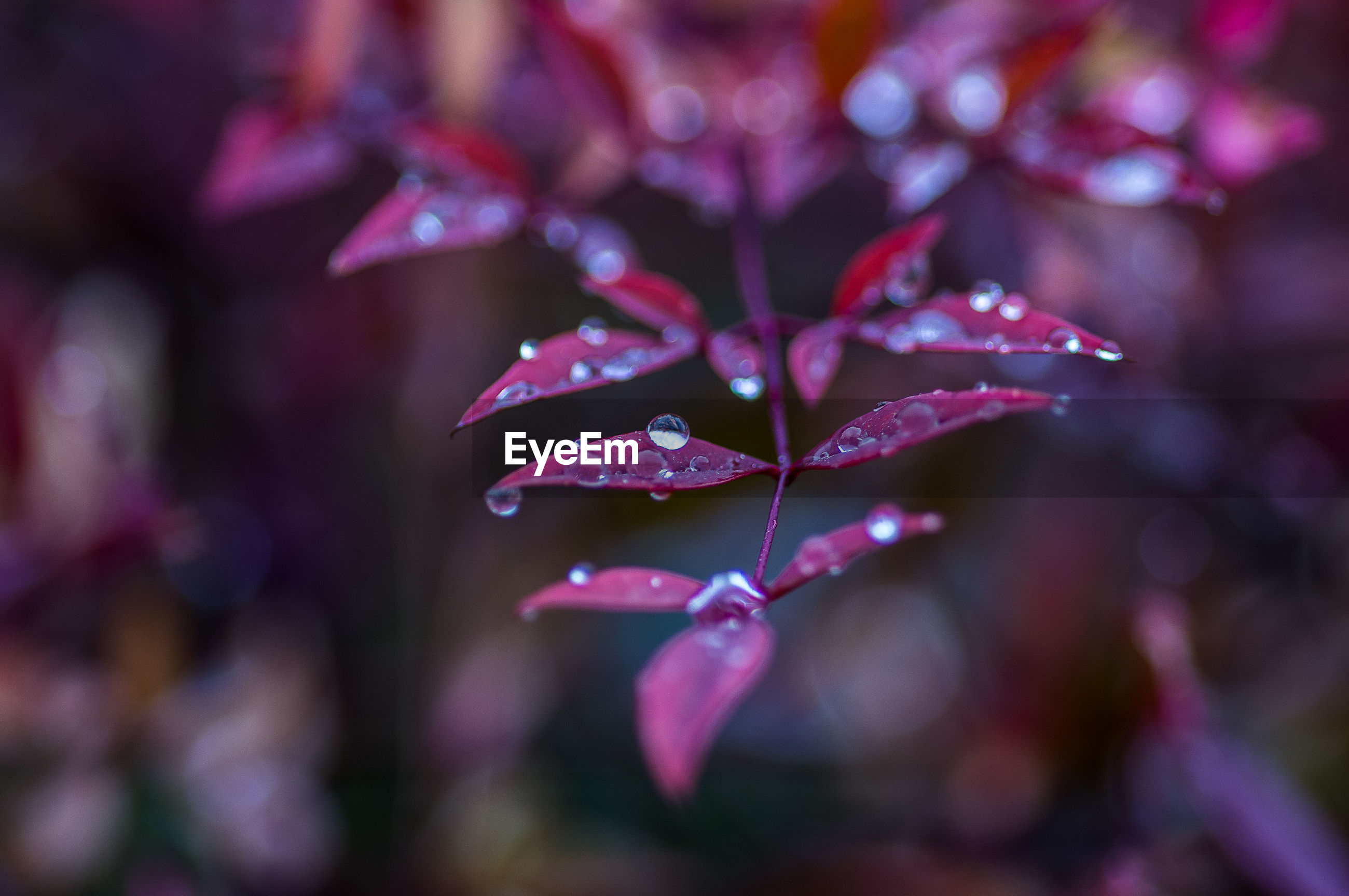 CLOSE-UP OF WATER DROPS ON PURPLE ROSE