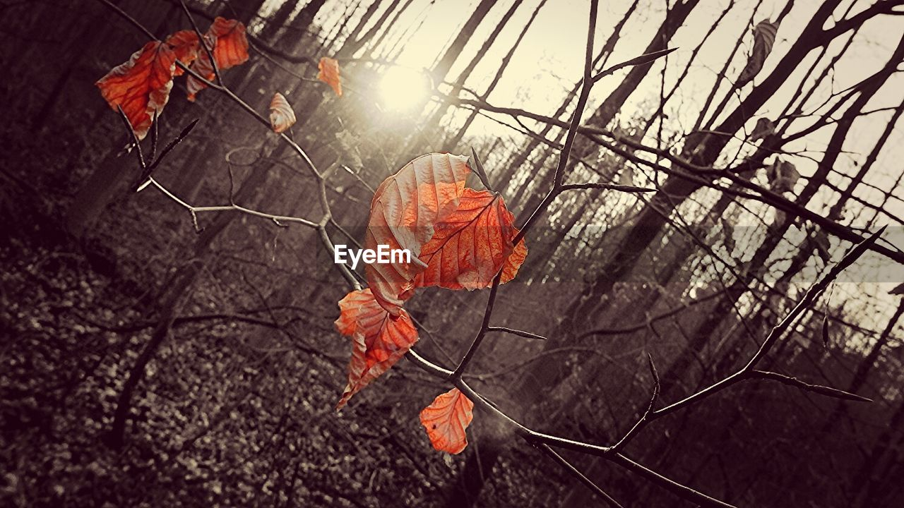 leaf, autumn, outdoors, day, no people, nature, beauty in nature, sunset, tree, close-up