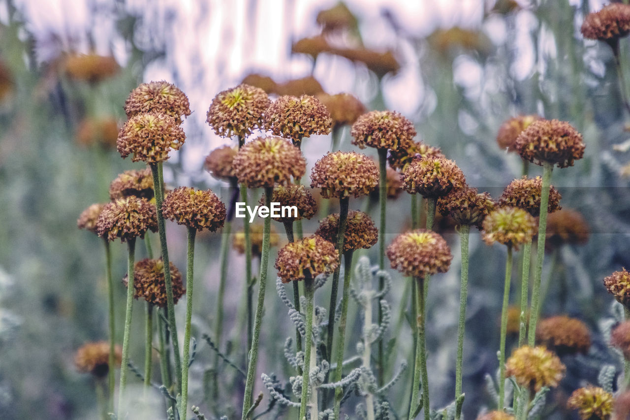 plant, growth, flower, flowering plant, beauty in nature, fragility, vulnerability, focus on foreground, close-up, nature, no people, day, freshness, flower head, selective focus, inflorescence, outdoors, petal, botany, land