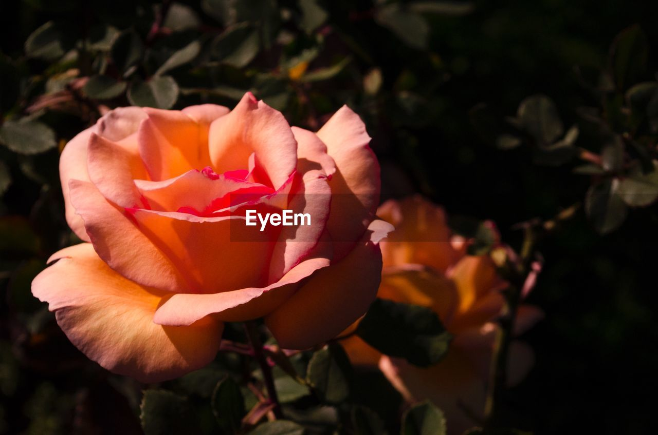 Close-up of rose blooming in park