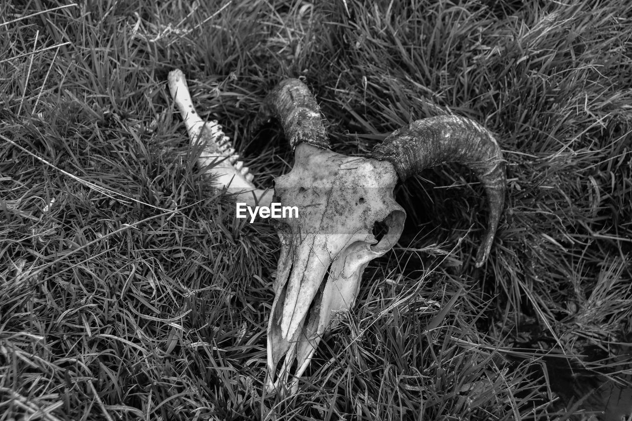 animal skull, bone, animal body part, animal bone, animal skeleton, no people, animal, animal themes, grass, land, plant, high angle view, close-up, field, horned, nature, day, animal head, skull