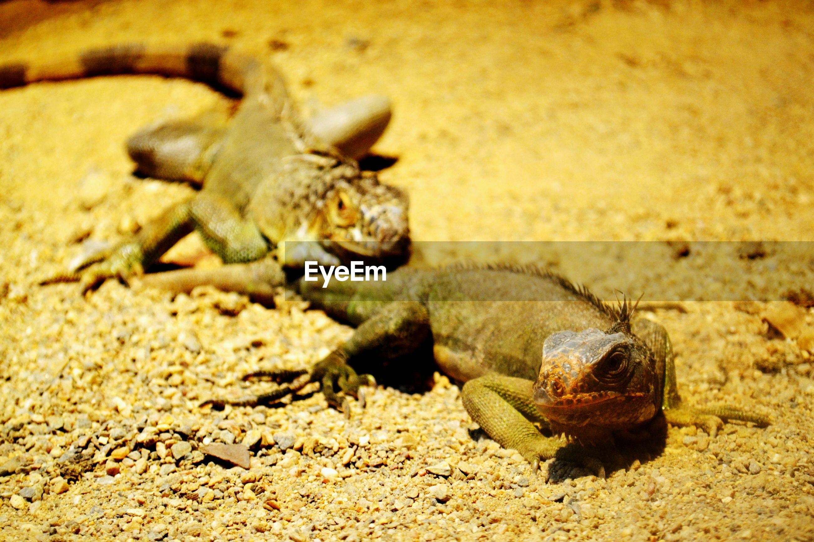animal themes, animals in the wild, reptile, one animal, animal wildlife, sand, no people, nature, outdoors, day, close-up