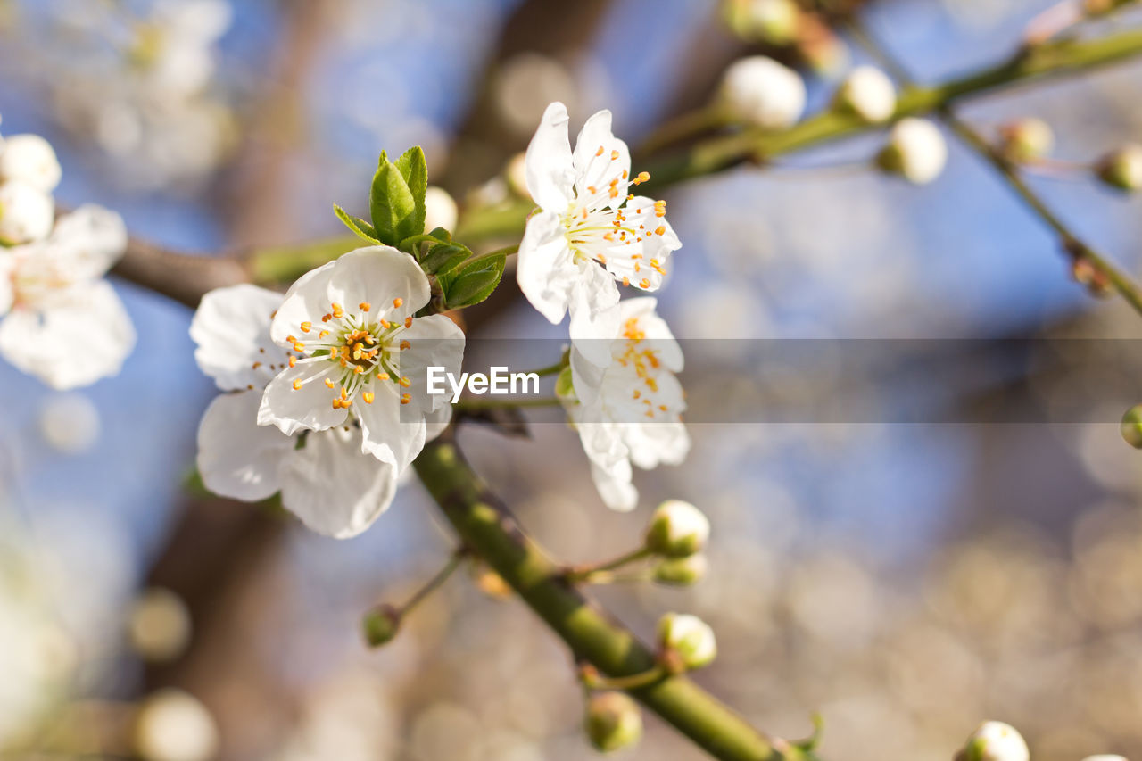flowering plant, flower, plant, fragility, growth, vulnerability, freshness, beauty in nature, close-up, focus on foreground, petal, nature, tree, springtime, flower head, day, blossom, selective focus, inflorescence, no people, pollen, outdoors, cherry blossom, cherry tree