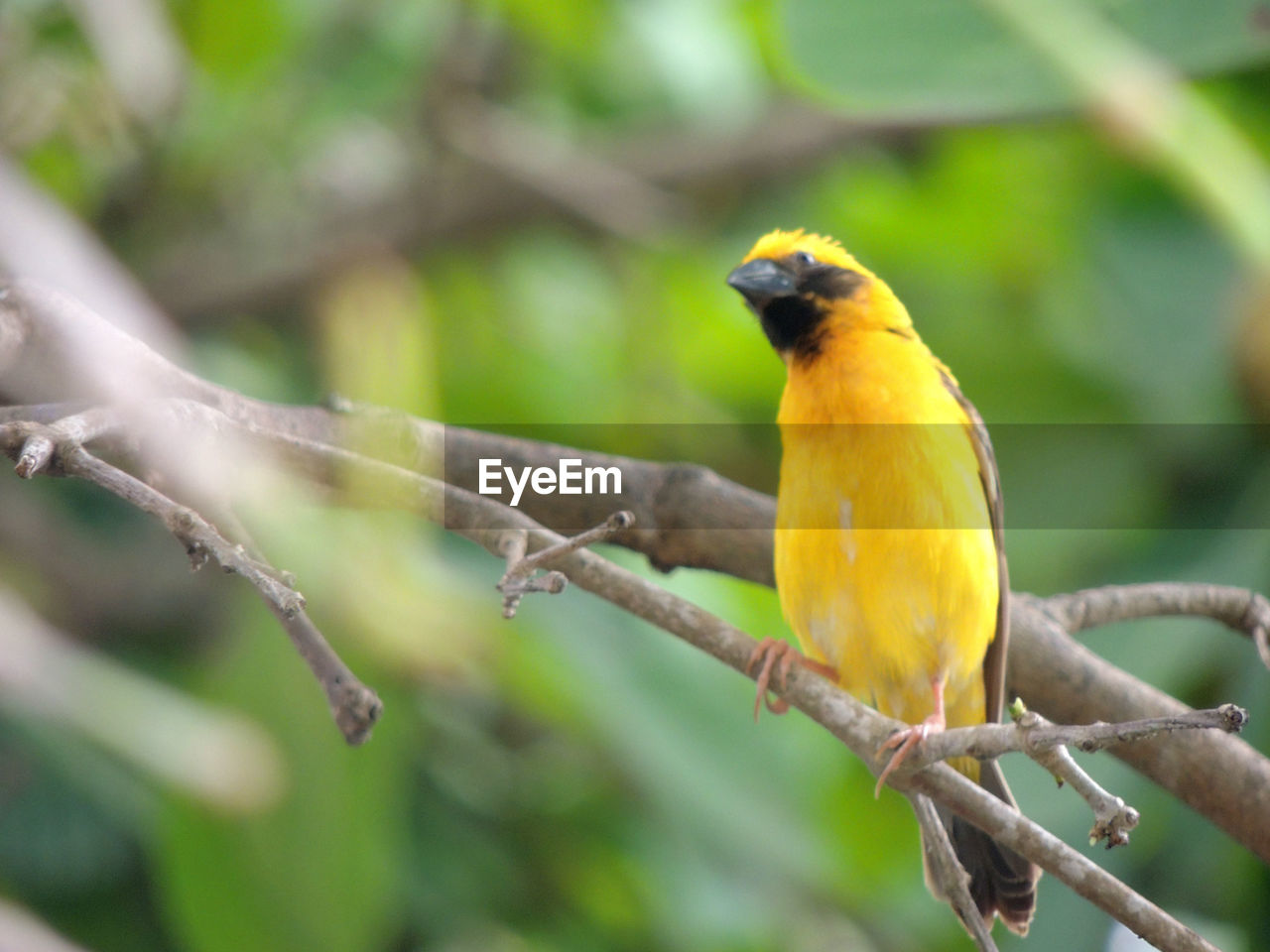 perching, animal wildlife, vertebrate, bird, animal themes, one animal, animals in the wild, animal, branch, tree, plant, yellow, focus on foreground, day, no people, nature, beauty in nature, outdoors, close-up, songbird