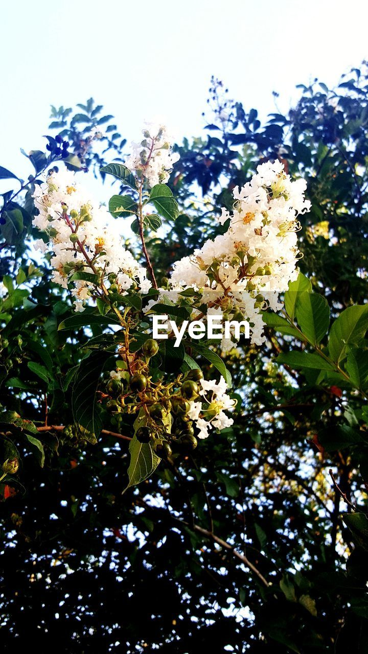 growth, flower, nature, beauty in nature, tree, low angle view, blossom, branch, fragility, freshness, apple blossom, leaf, no people, springtime, petal, plant, day, outdoors, clear sky, blooming, close-up, sky, flower head