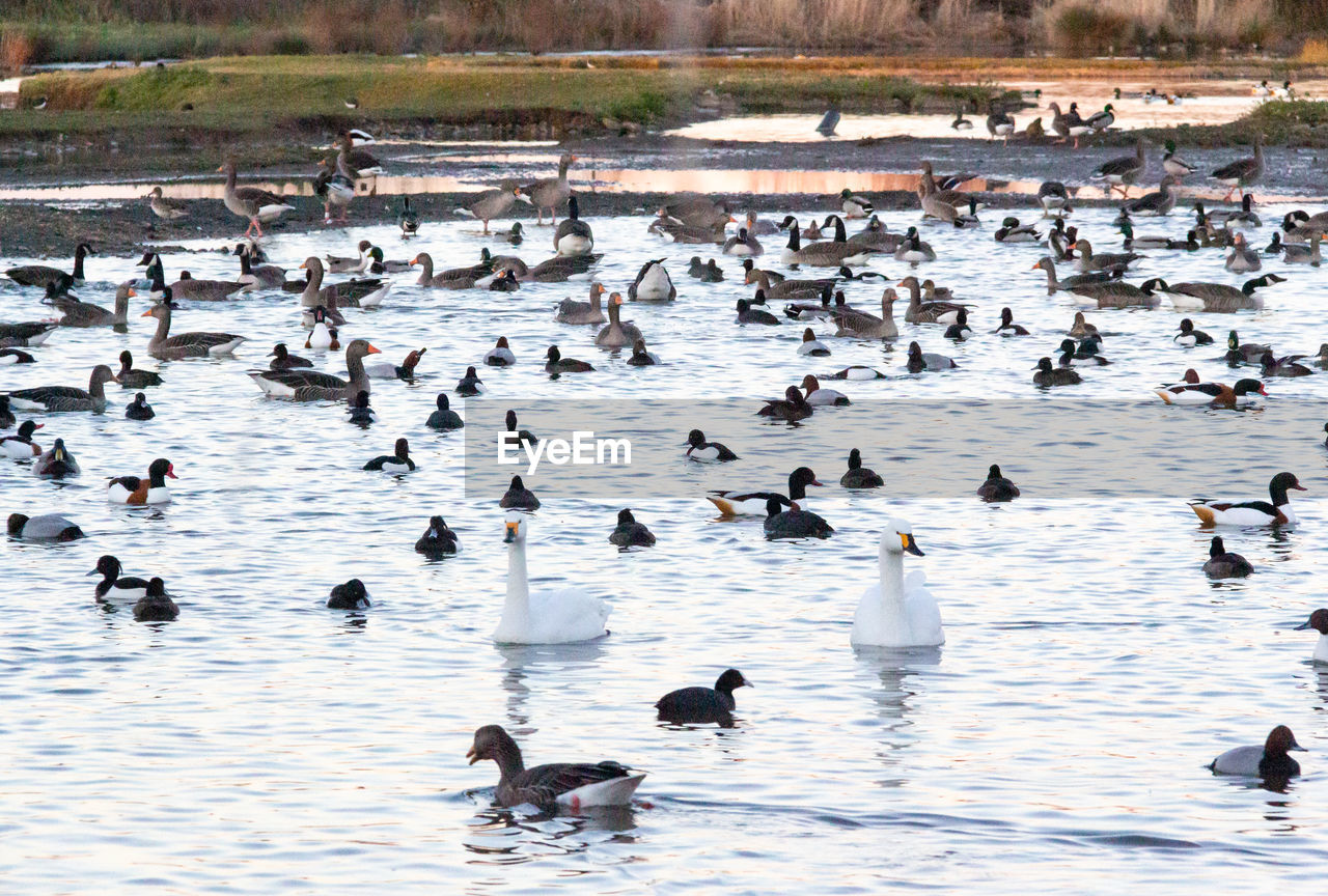 animal themes, animals in the wild, bird, animal wildlife, animal, group of animals, vertebrate, large group of animals, lake, water, no people, day, nature, duck, swimming, poultry, cold temperature, winter, beauty in nature, flock of birds, floating on water