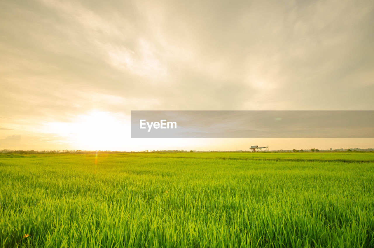 field, landscape, scenics - nature, land, sky, agriculture, environment, beauty in nature, green color, tranquil scene, plant, tranquility, rural scene, growth, cloud - sky, nature, crop, grass, cereal plant, farm, no people, outdoors, bright