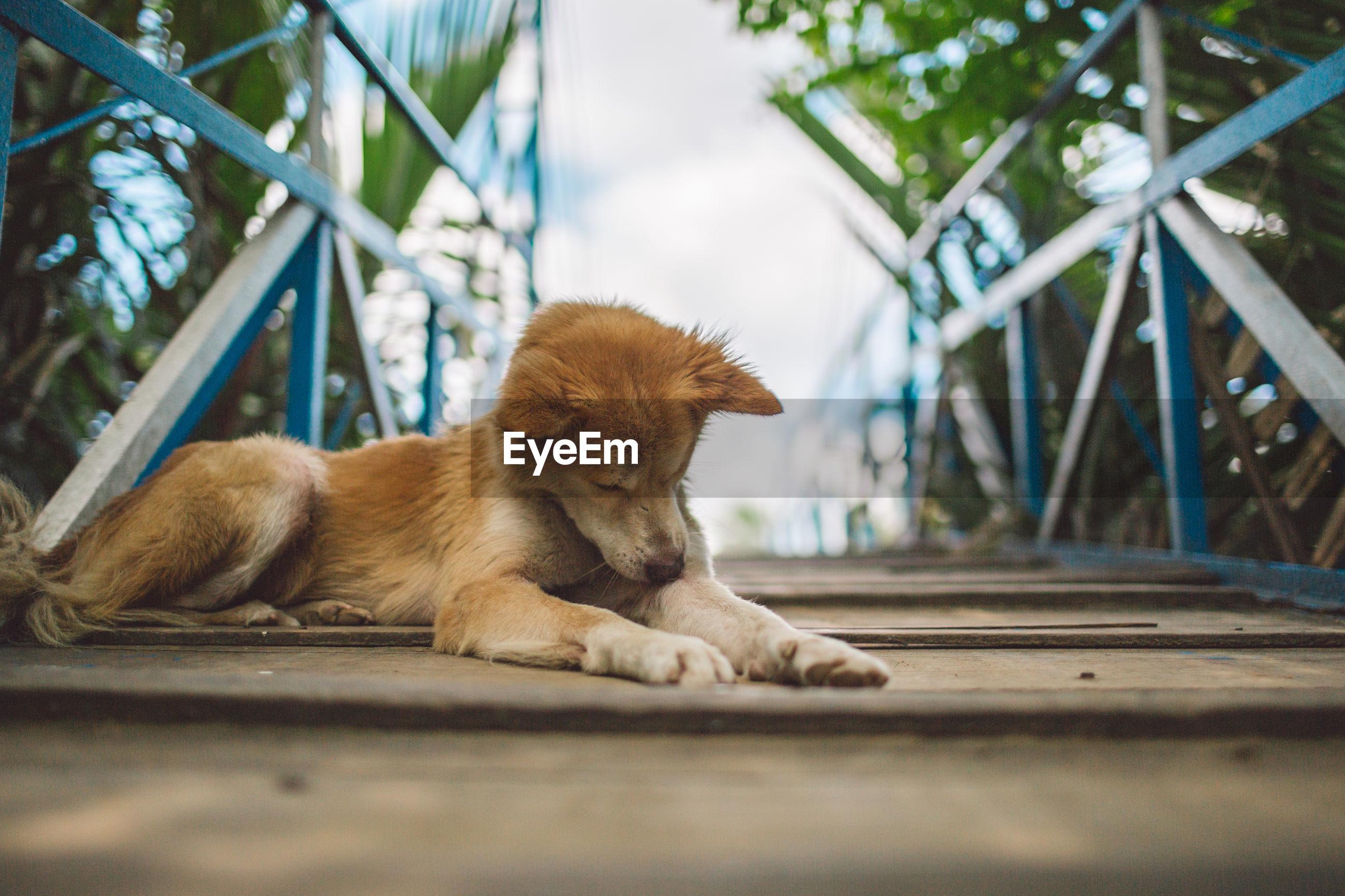 CLOSE-UP OF A DOG LYING