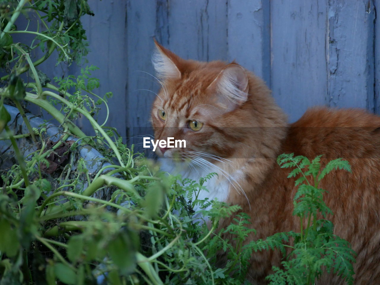 domestic cat, animal themes, one animal, domestic animals, pets, mammal, feline, no people, ginger cat, whisker, day, sitting, close-up, outdoors