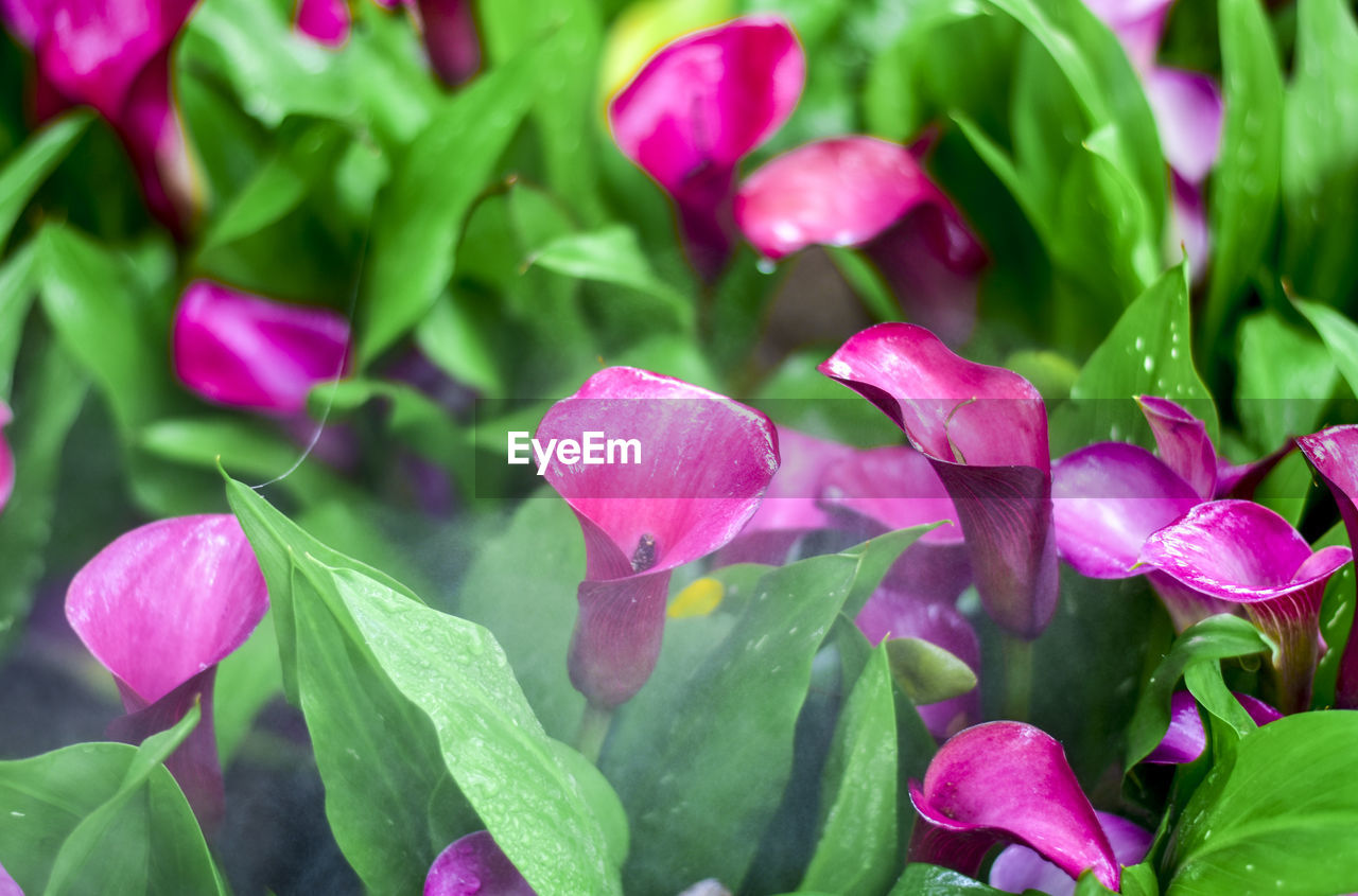 flowering plant, flower, plant, growth, beauty in nature, freshness, petal, close-up, vulnerability, pink color, fragility, plant part, leaf, inflorescence, flower head, nature, no people, day, purple, drop, outdoors, bunch of flowers