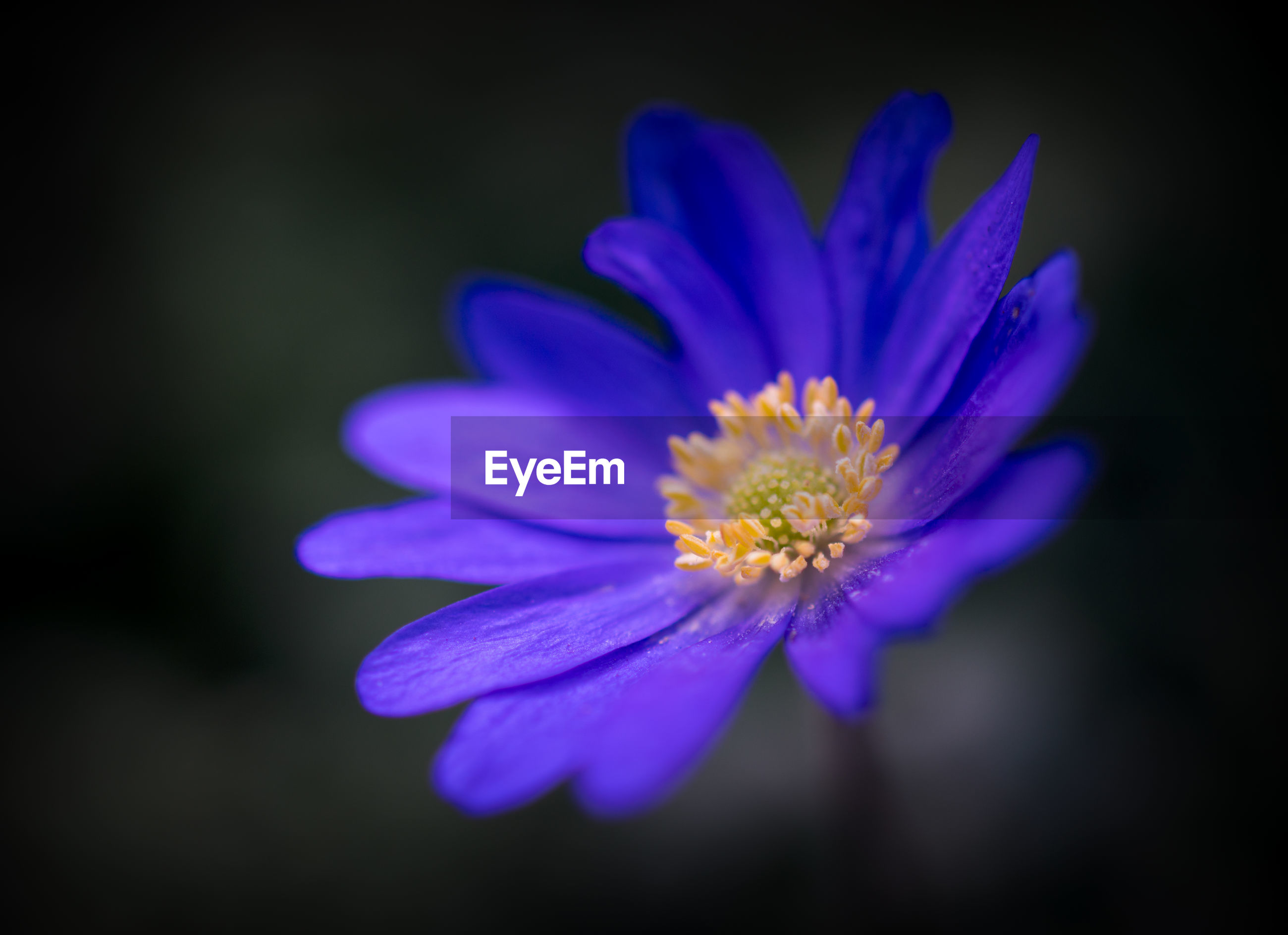 CLOSE-UP OF BLUE FLOWER BLOOMING