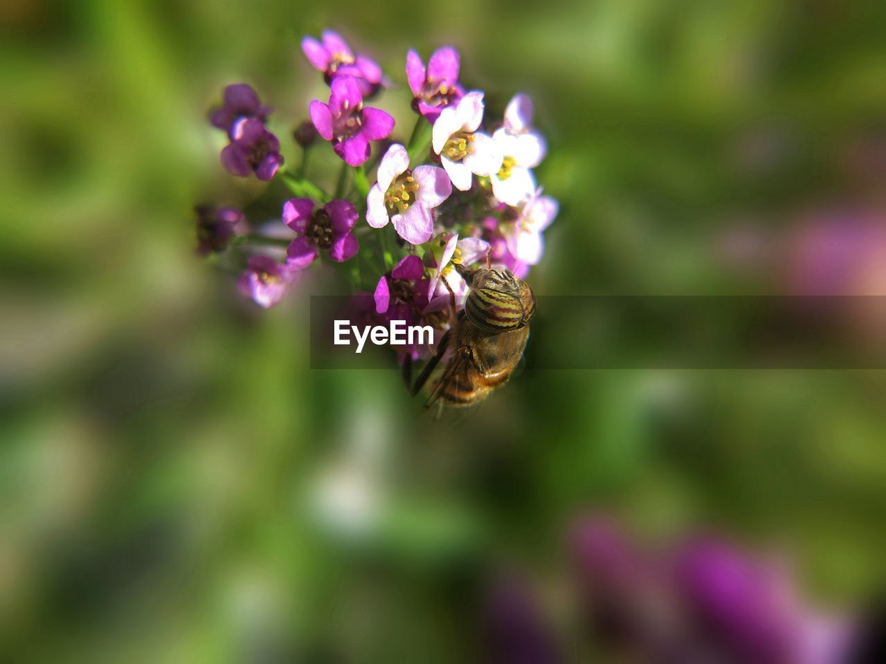 flowering plant, flower, invertebrate, animals in the wild, insect, animal wildlife, beauty in nature, fragility, animal themes, animal, bee, freshness, vulnerability, one animal, plant, petal, growth, close-up, purple, flower head, pollination, no people, honey bee, outdoors