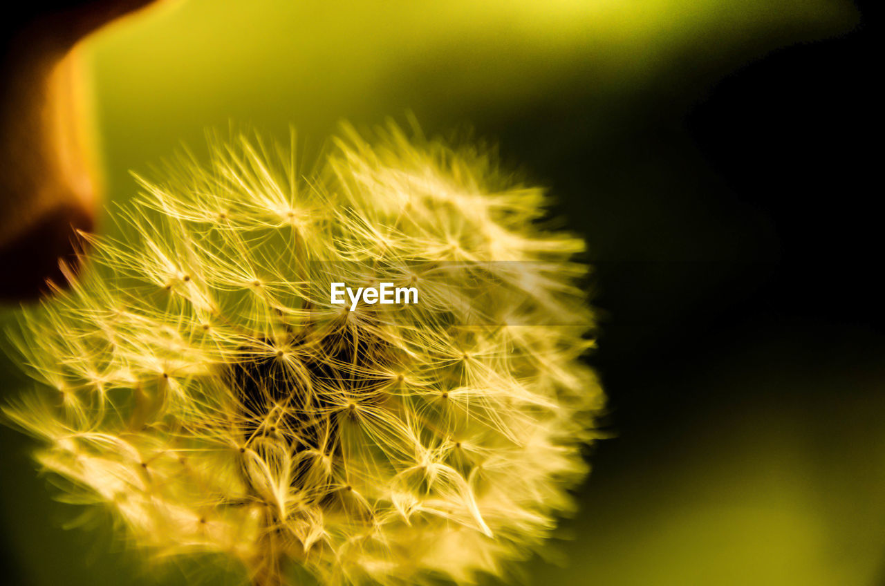close-up, flower, fragility, beauty in nature, nature, dandelion, softness, growth, focus on foreground, flower head, no people, plant, selective focus, freshness, outdoors, yellow, day