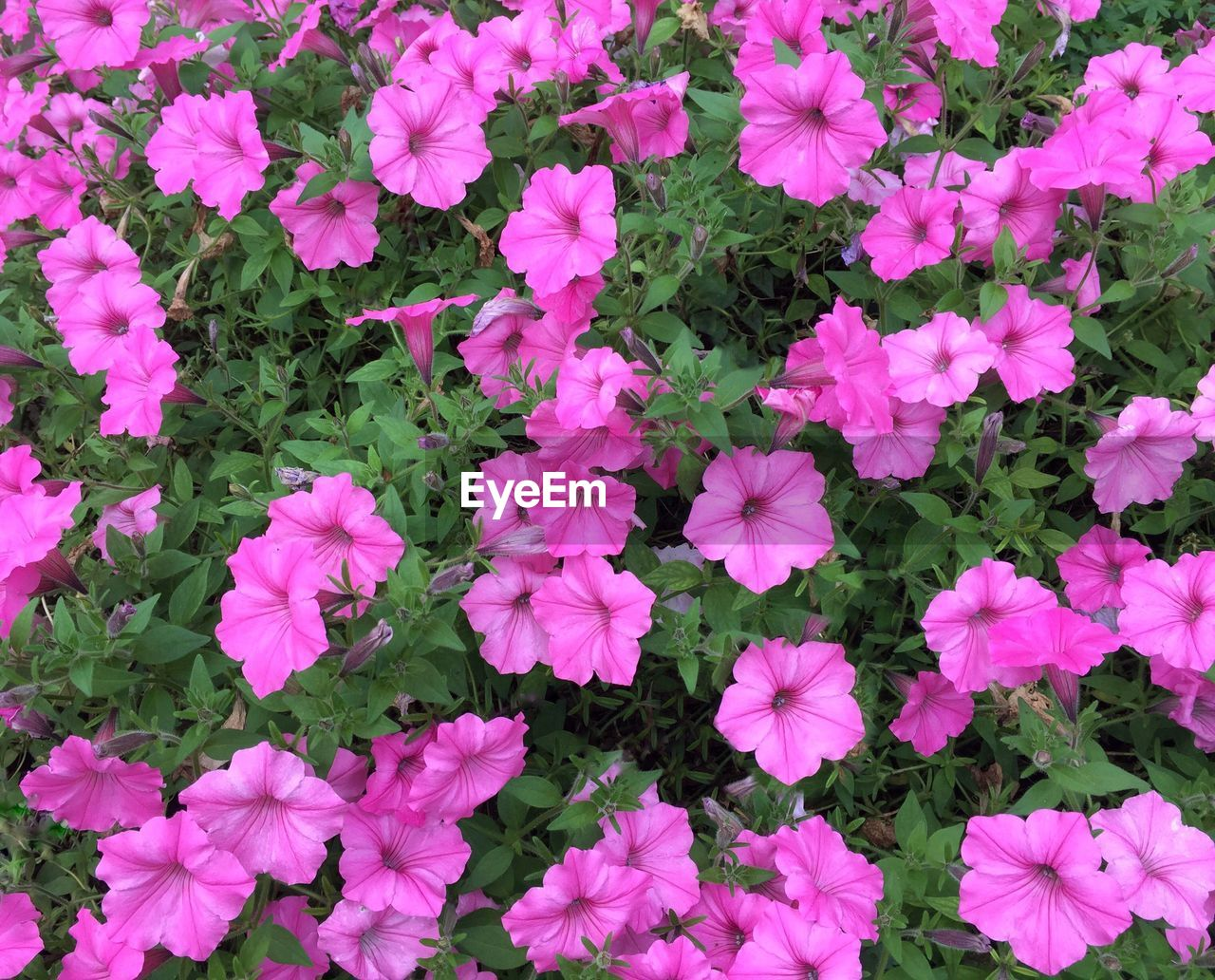 HIGH ANGLE VIEW OF PINK FLOWERS BLOOMING IN PLANT
