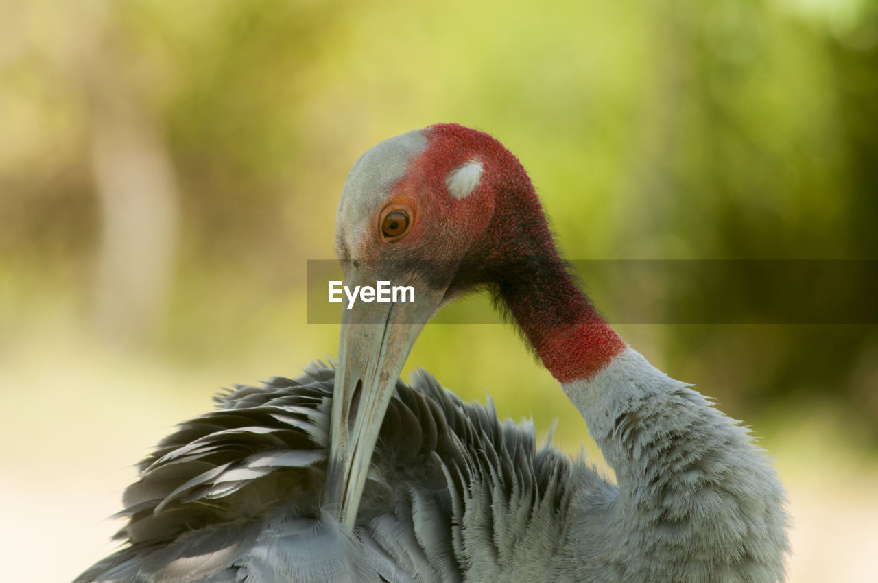 animal themes, animal wildlife, animal, bird, vertebrate, animals in the wild, one animal, focus on foreground, close-up, beak, day, no people, animal body part, nature, animal head, outdoors, preening, zoology, water bird, animal neck, animal eye