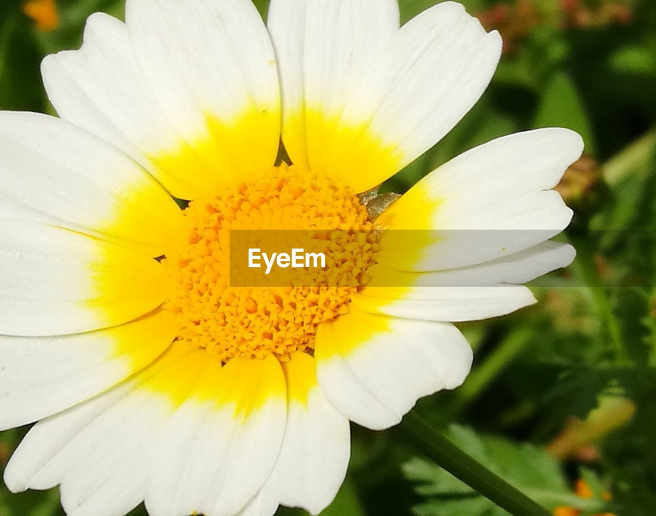 flower, petal, yellow, flower head, beauty in nature, nature, fragility, freshness, plant, pollen, white color, close-up, growth, outdoors, blooming, focus on foreground, day, no people, animal themes