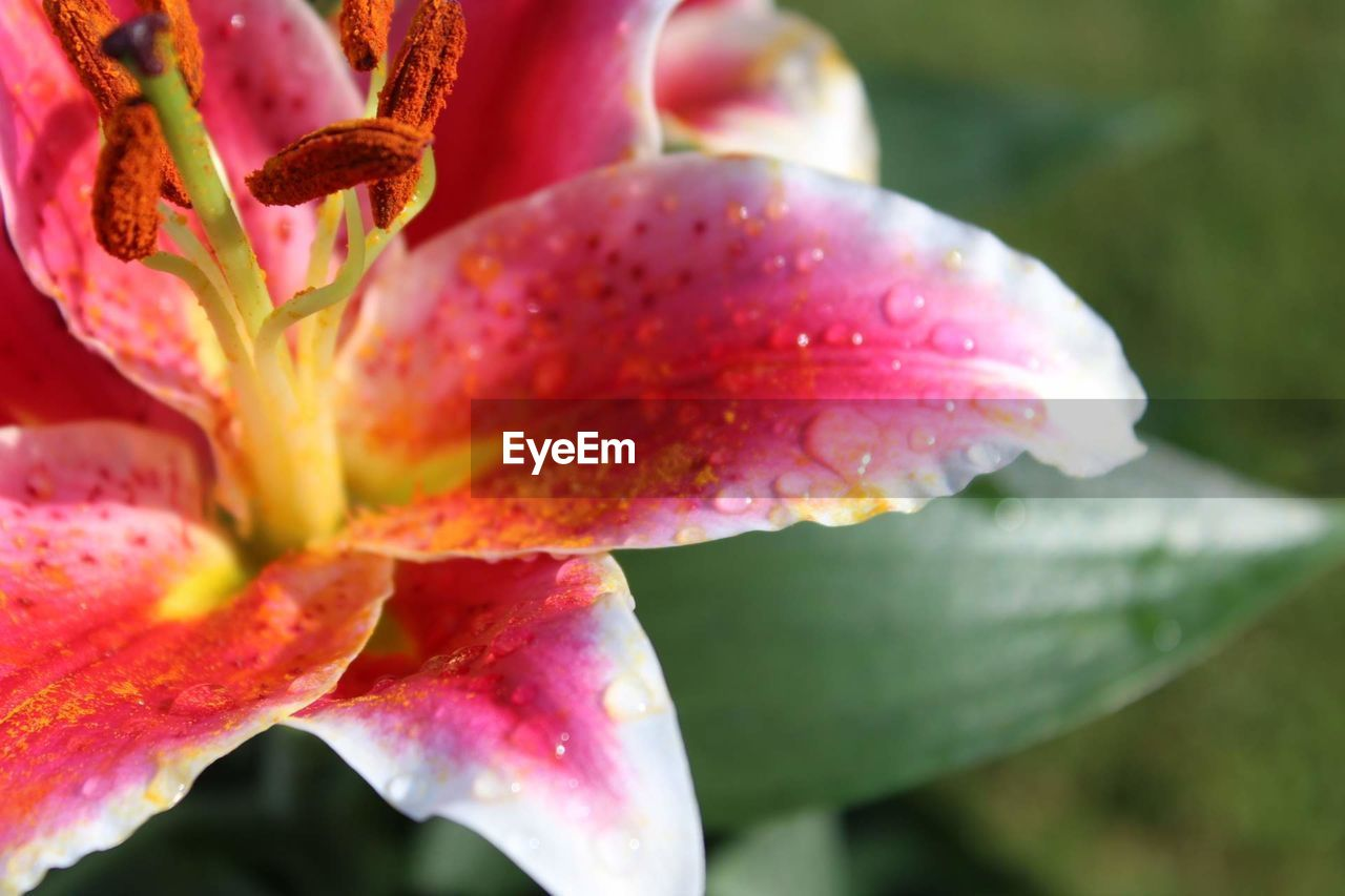plant, growth, close-up, beauty in nature, freshness, flower, fragility, vulnerability, flowering plant, petal, no people, nature, drop, wet, day, pink color, selective focus, leaf, plant part, inflorescence, flower head, outdoors, pollen, springtime, purity, purple, dew, raindrop