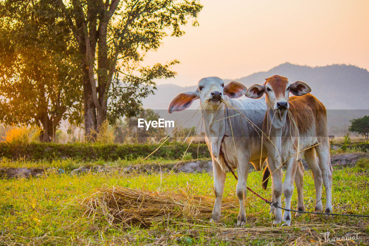 livestock, animal themes, domestic animals, field, mammal, grass, outdoors, nature, tree, no people, cow, looking at camera, day, togetherness, sunset, sky