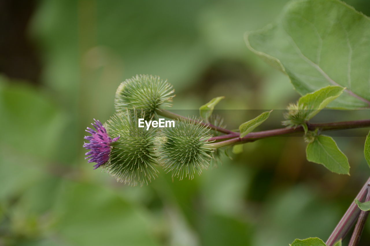 growth, nature, plant, flower, focus on foreground, beauty in nature, fragility, day, outdoors, green color, no people, close-up, thistle, freshness, flower head
