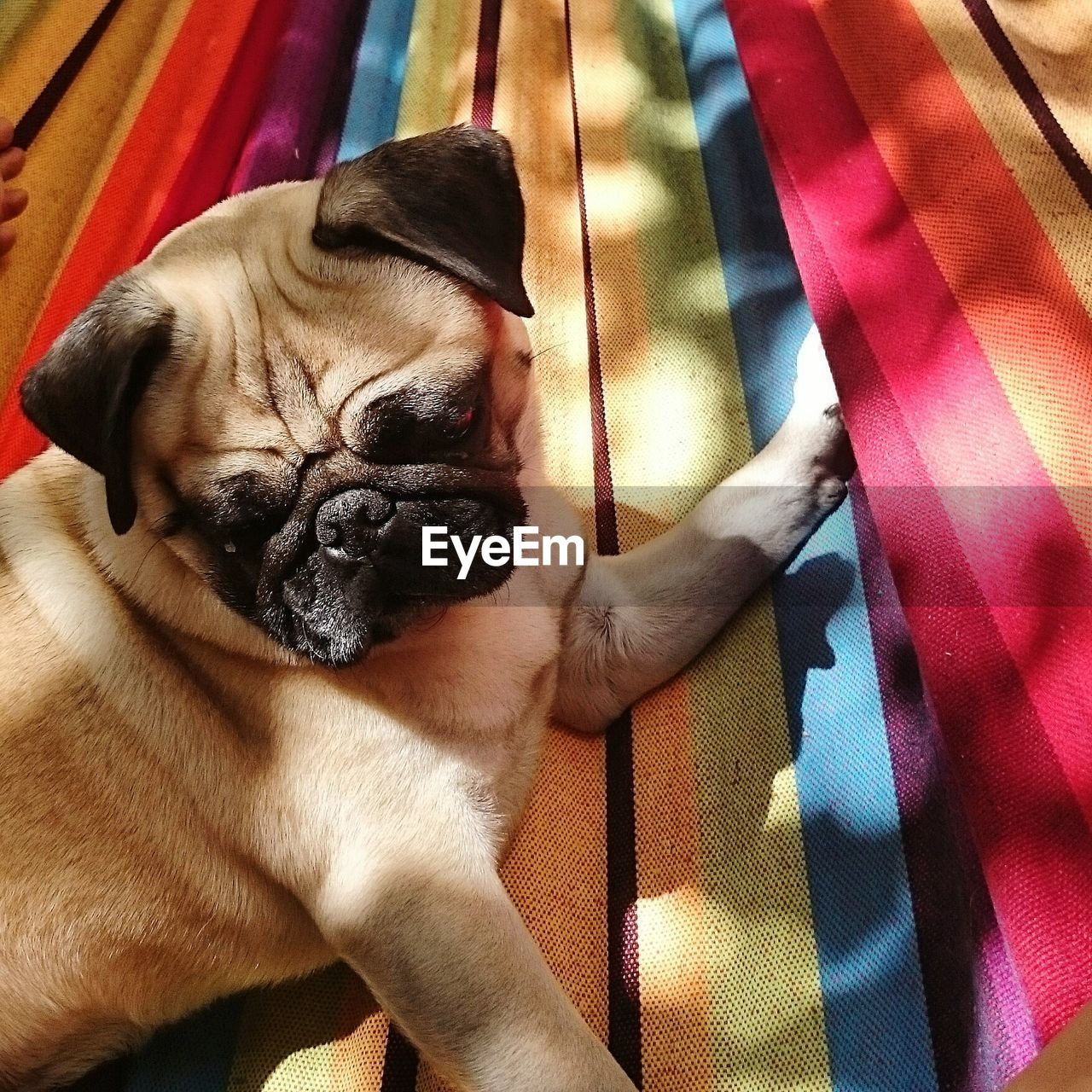 High angle view of pug resting on bed
