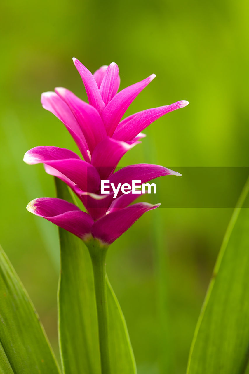 plant, flowering plant, flower, beauty in nature, vulnerability, freshness, pink color, fragility, growth, close-up, focus on foreground, nature, petal, green color, no people, inflorescence, day, plant part, flower head, outdoors, purple