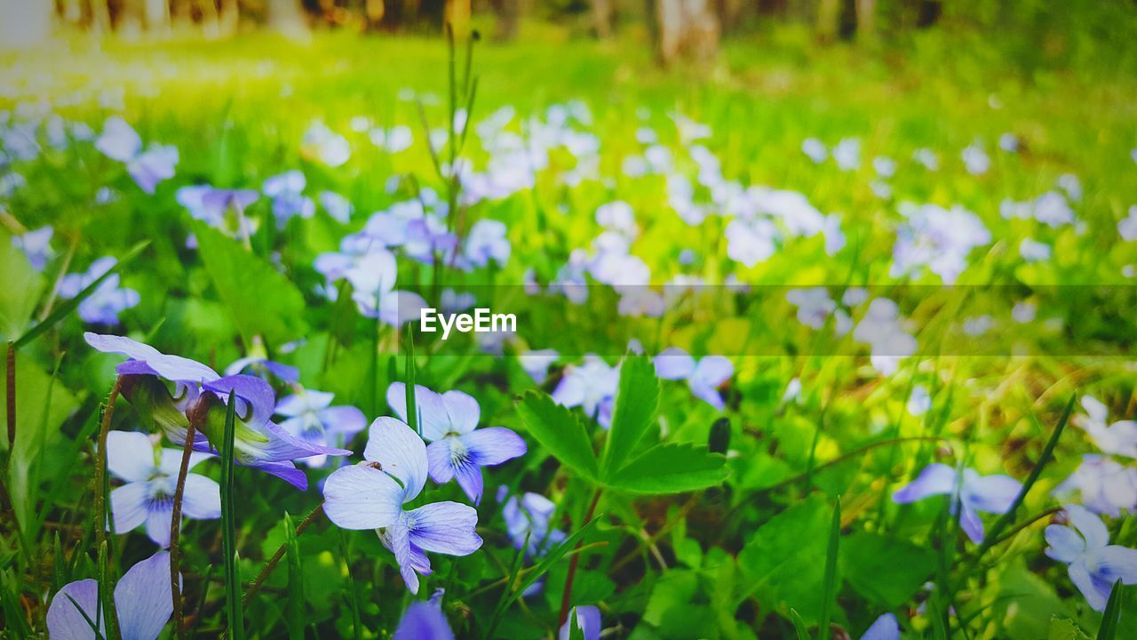 flower, growth, beauty in nature, petal, fragility, nature, freshness, plant, focus on foreground, day, purple, outdoors, green color, blooming, field, flower head, grass, no people, close-up, crocus
