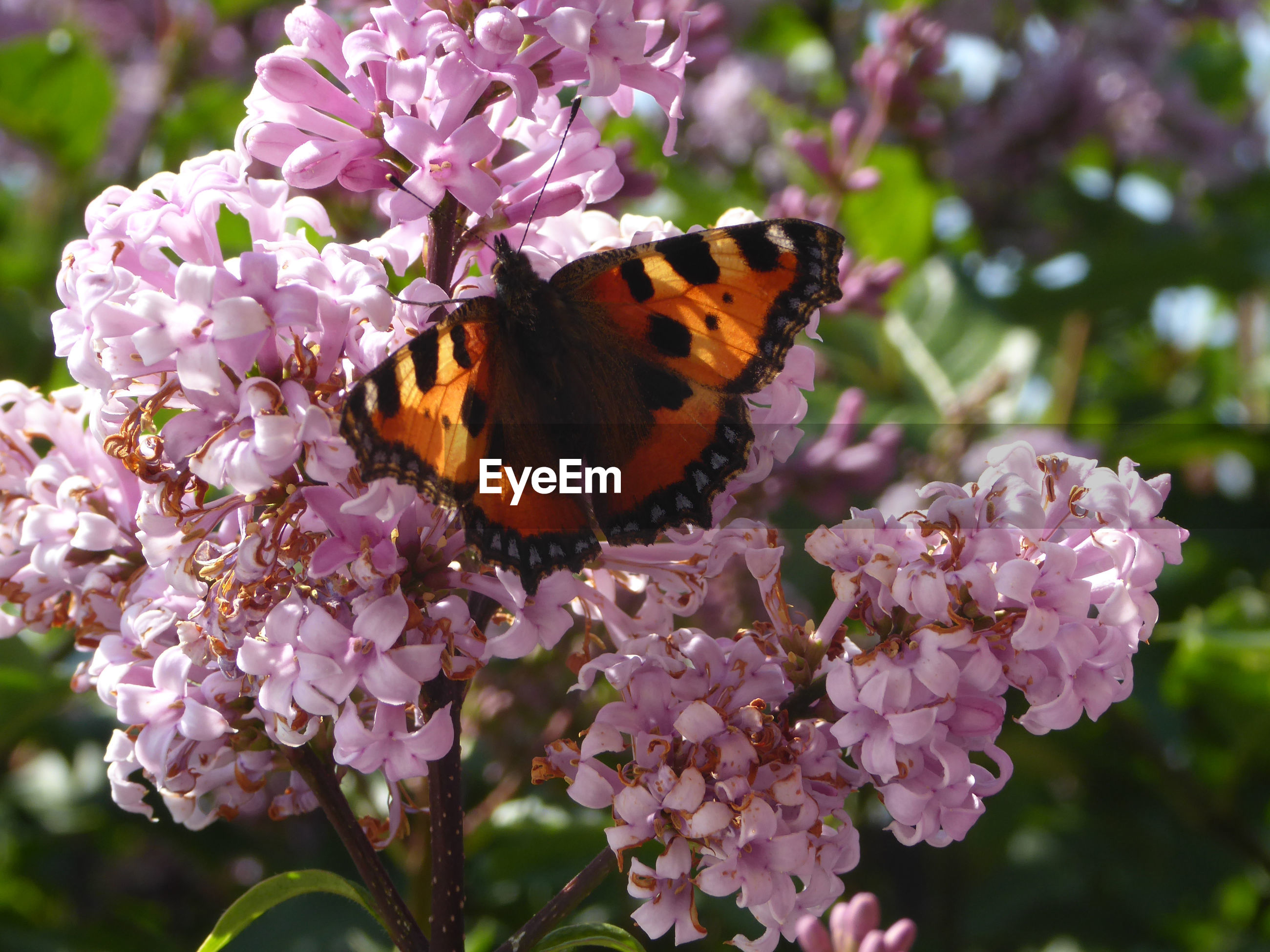 CLOSE-UP OF BUTTERFLY ON PINK FLOWERING PLANT