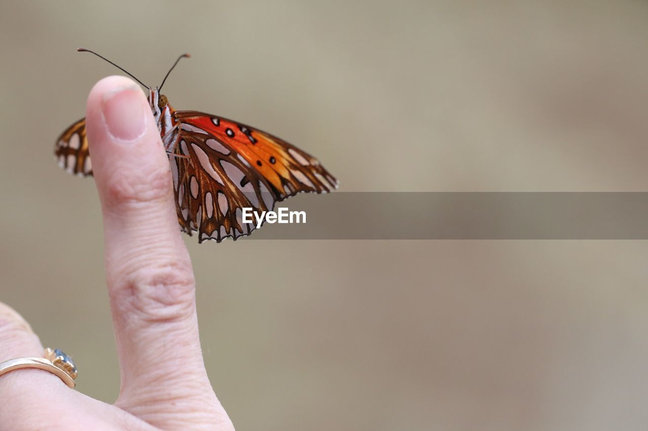 Monarch Butterfly Resting On Finger
