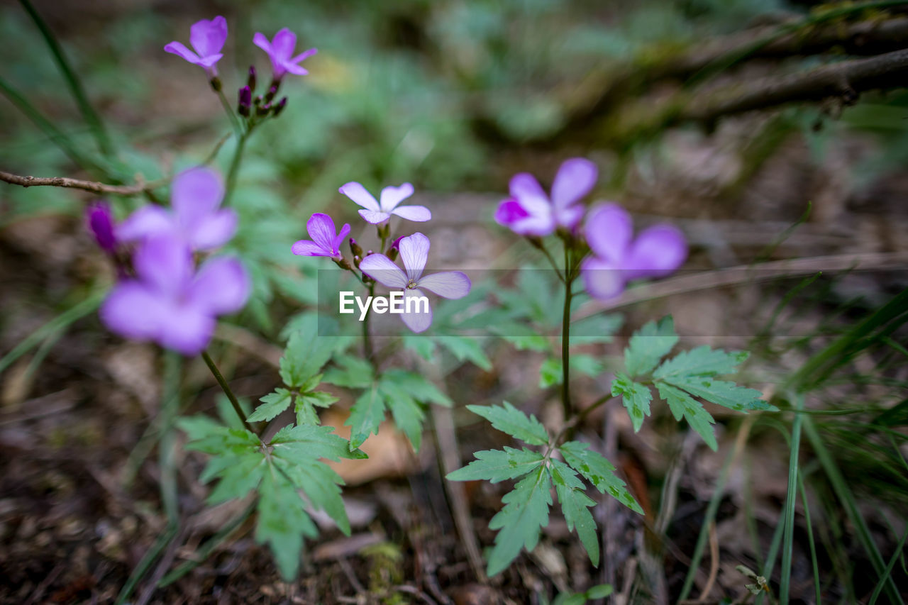 flowering plant, flower, plant, vulnerability, fragility, growth, freshness, beauty in nature, petal, close-up, inflorescence, purple, flower head, nature, land, leaf, plant part, no people, day, selective focus, outdoors