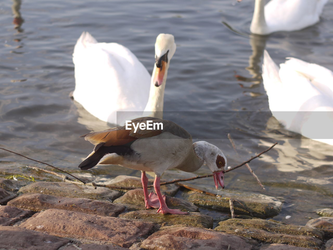 bird, animal themes, animal, animal wildlife, animals in the wild, vertebrate, water, group of animals, nature, day, lake, no people, rock, sunlight, swan, rock - object, zoology, solid