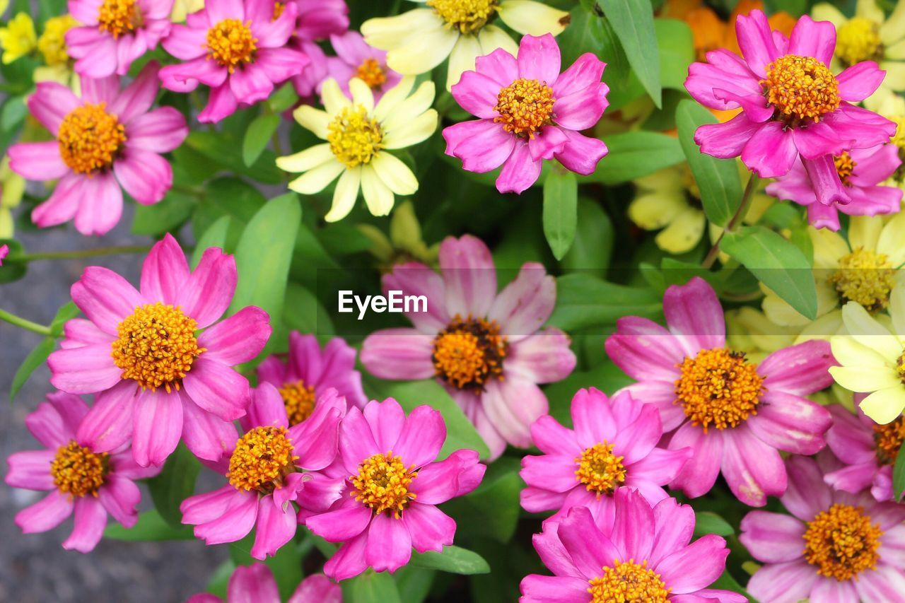 flowering plant, flower, freshness, petal, fragility, flower head, pink color, plant, beauty in nature, inflorescence, vulnerability, close-up, growth, no people, nature, pollen, outdoors, full frame, day, backgrounds, springtime