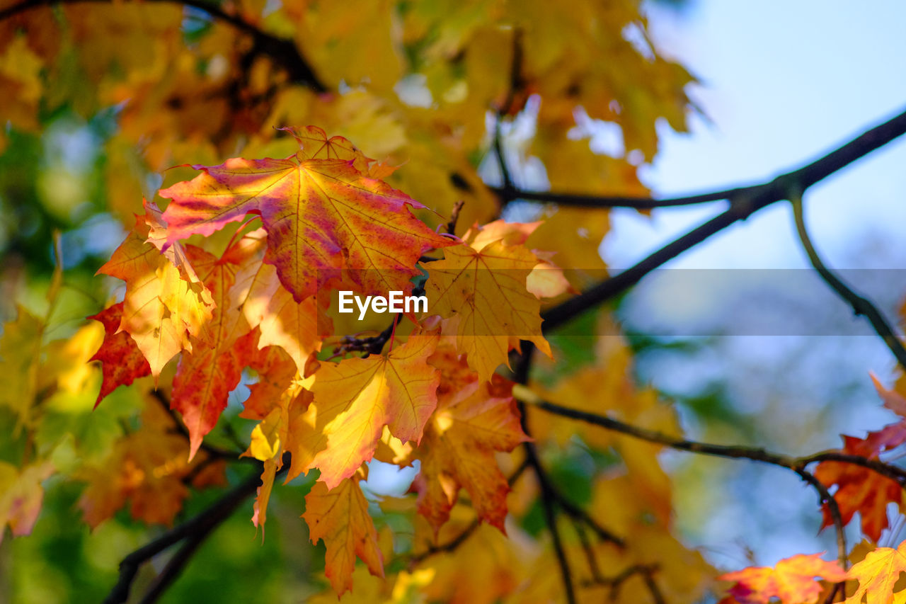 autumn, leaf, change, nature, beauty in nature, maple leaf, leaves, outdoors, branch, maple, maple tree, day, growth, tree, yellow, no people, tranquility, close-up, focus on foreground, low angle view, fragility