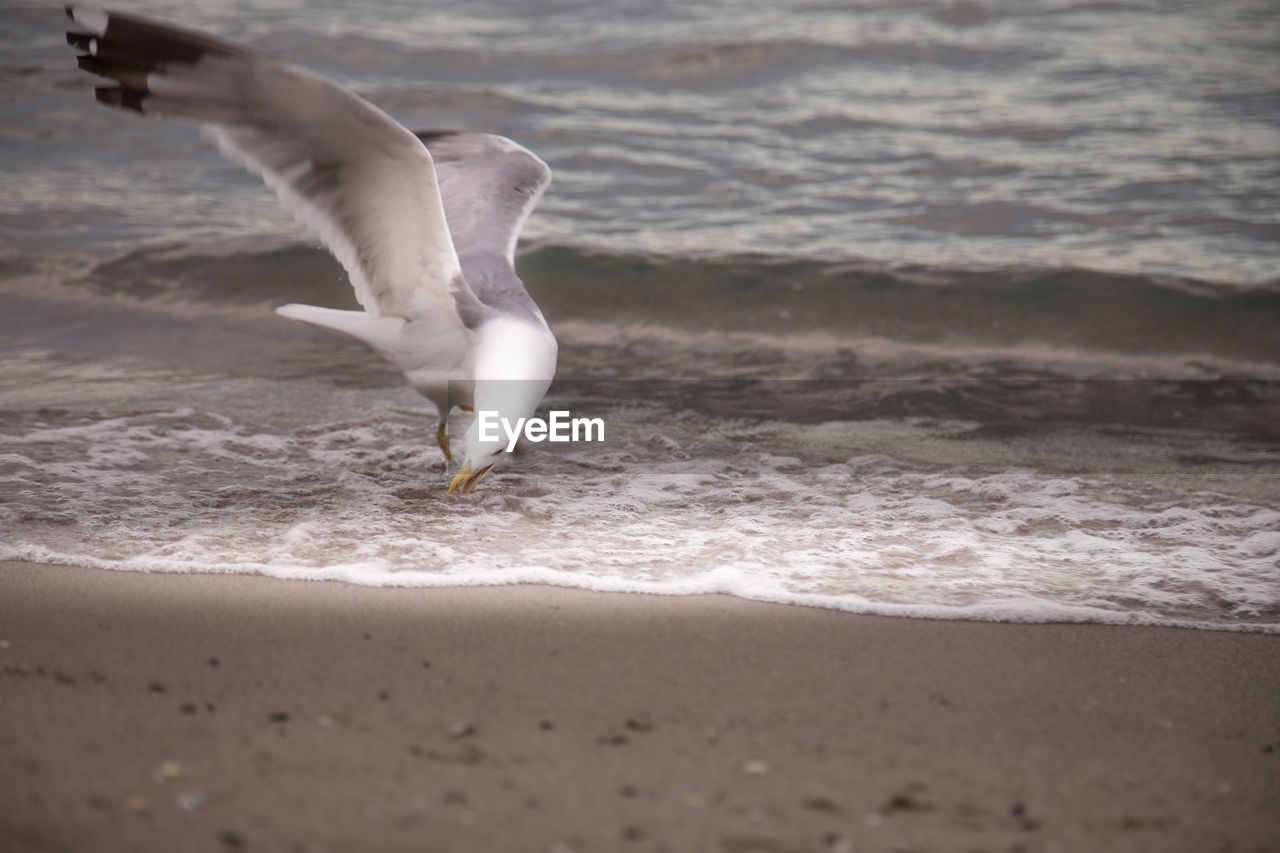 sea, land, water, beach, motion, animal, animals in the wild, animal themes, vertebrate, animal wildlife, bird, flying, spread wings, nature, seagull, beauty in nature, wave, sand, one animal, no people, outdoors