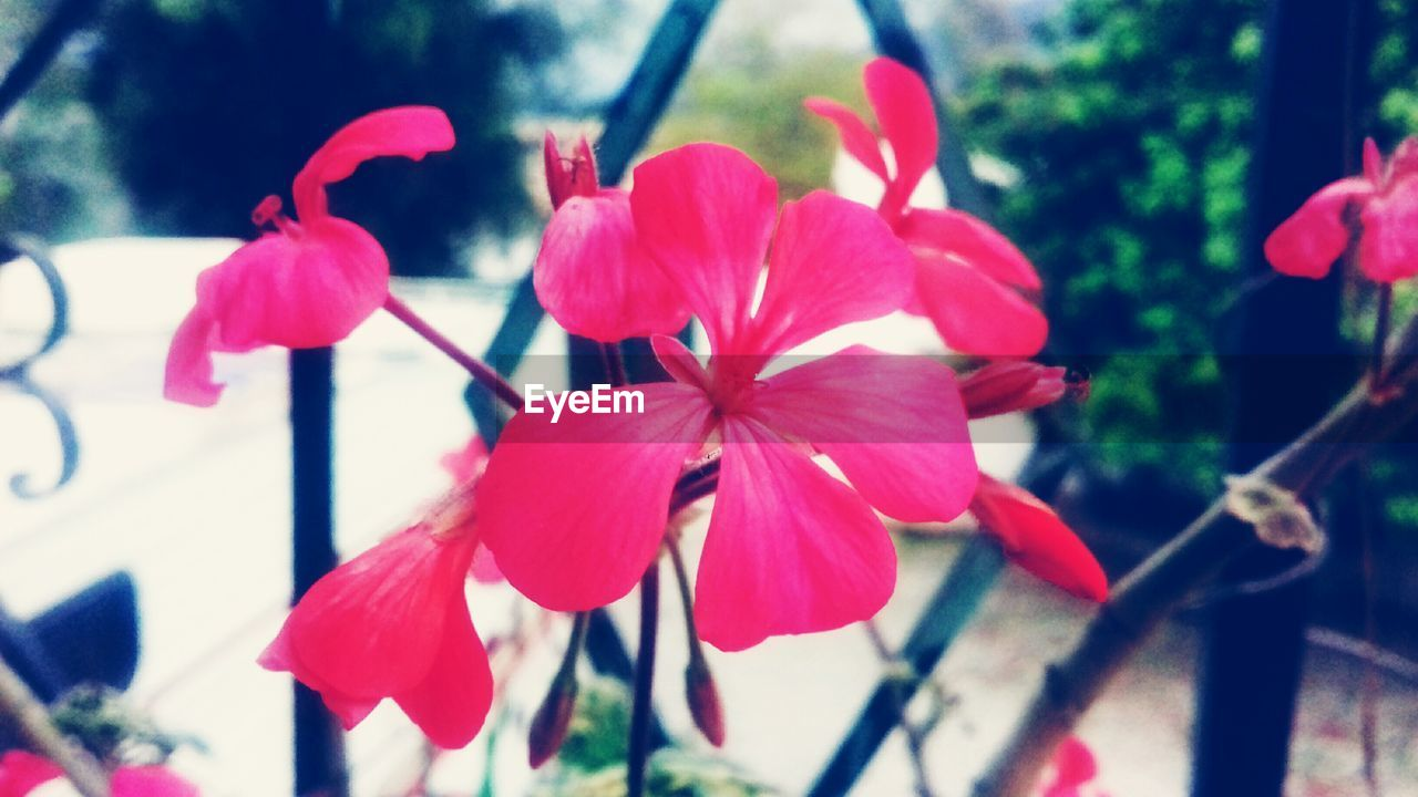 growth, flower, petal, beauty in nature, close-up, no people, nature, day, focus on foreground, pink color, fragility, flower head, plant, outdoors, red, blooming, tree, freshness, periwinkle
