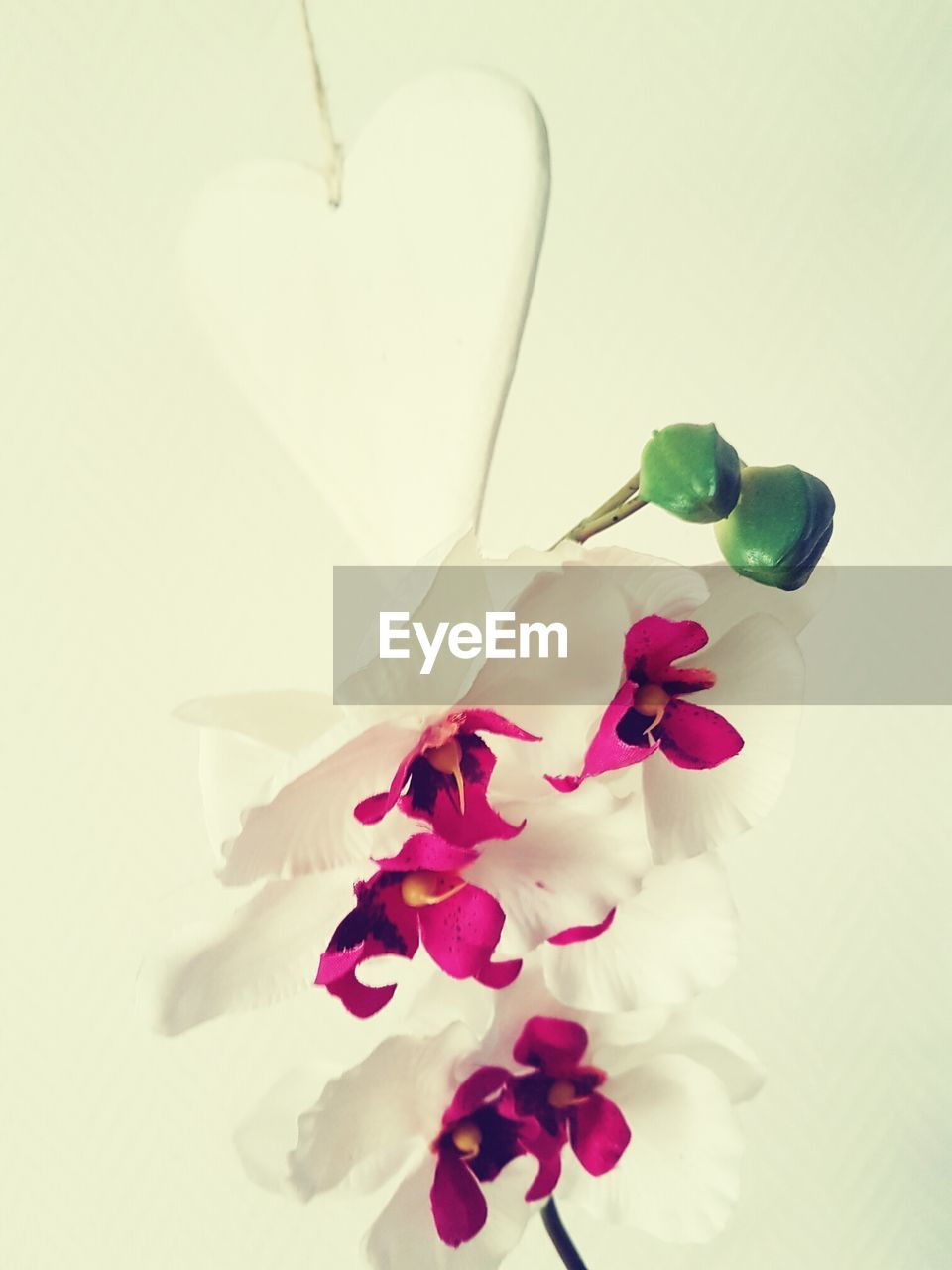 flower, petal, white background, studio shot, no people, pink color, indoors, close-up, fragility, freshness, flower head, nature, day