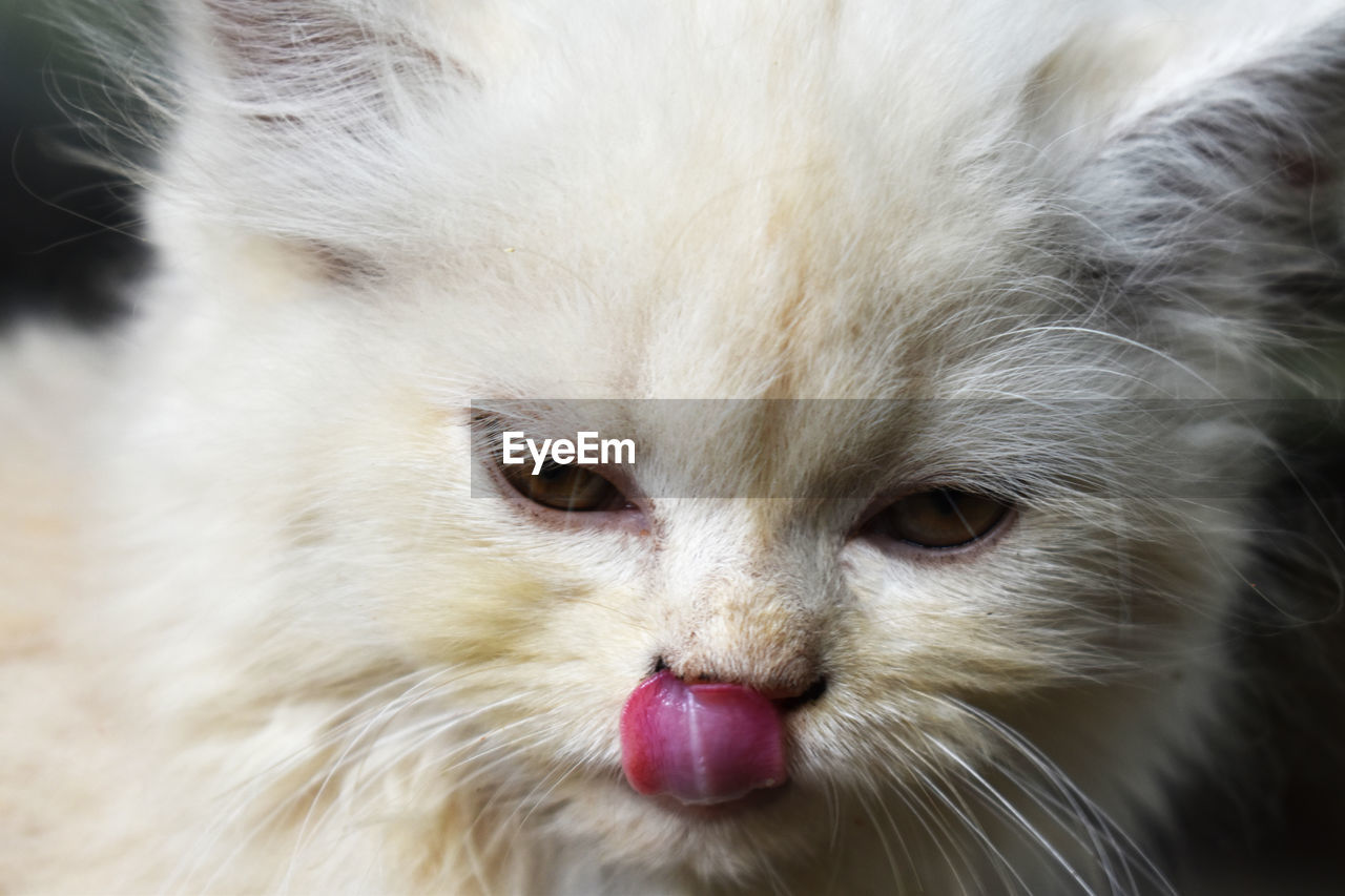 domestic, pets, mammal, animal themes, animal, domestic animals, one animal, vertebrate, close-up, cat, feline, domestic cat, no people, animal body part, focus on foreground, whisker, hair, animal hair, animal head, white color, animal eye