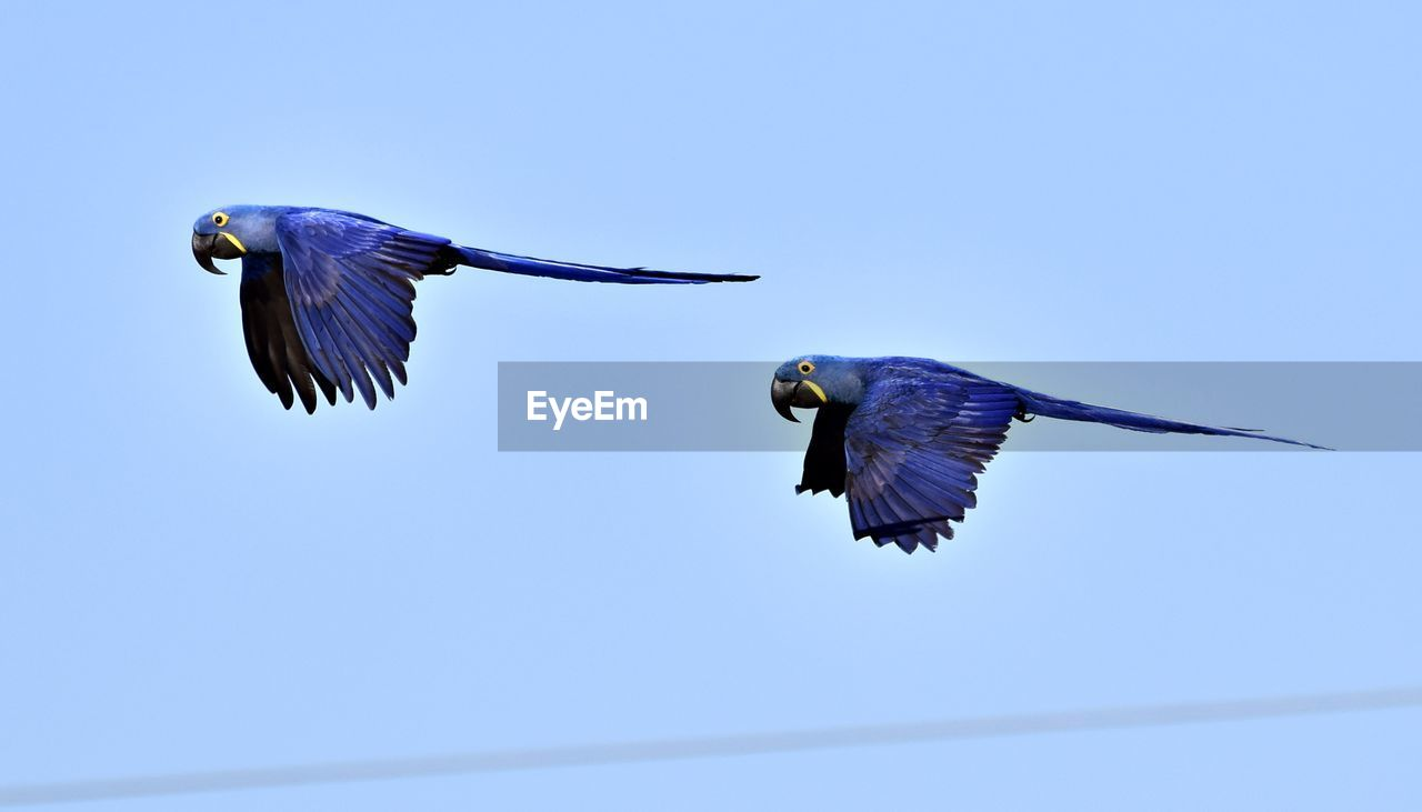 bird, flying, vertebrate, animal themes, animal, animals in the wild, animal wildlife, spread wings, blue, mid-air, clear sky, sky, nature, no people, day, one animal, low angle view, motion