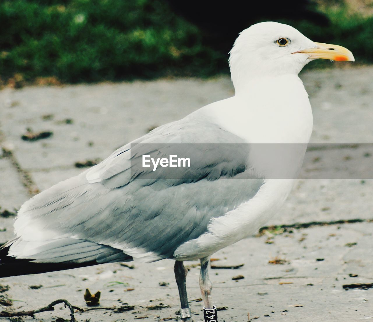 bird, animal themes, animal, vertebrate, animals in the wild, animal wildlife, one animal, white color, seagull, focus on foreground, day, land, no people, nature, full length, close-up, looking, outdoors, perching, beauty in nature, beak