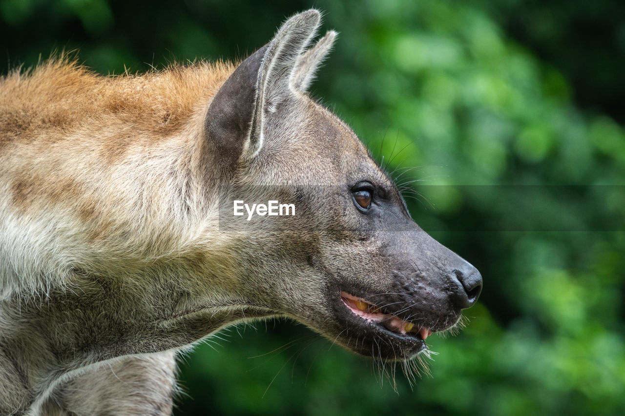 one animal, mammal, animal, animal themes, vertebrate, looking away, looking, focus on foreground, animal wildlife, close-up, domestic animals, animals in the wild, no people, animal body part, dog, canine, pets, side view, animal head, day, profile view, mouth open, whisker