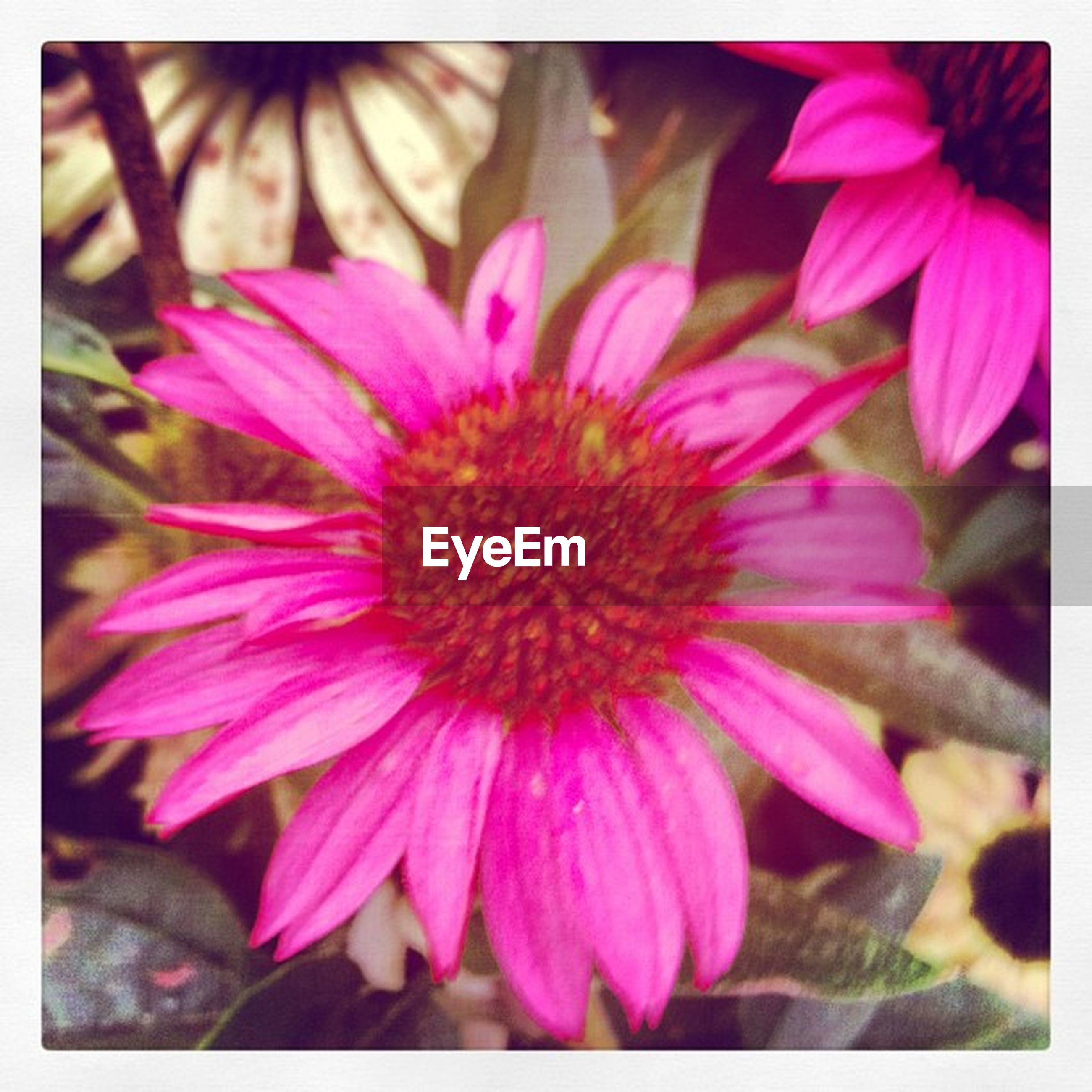 transfer print, flower, petal, flower head, freshness, fragility, auto post production filter, close-up, beauty in nature, pink color, growth, nature, pollen, blooming, focus on foreground, selective focus, plant, in bloom, purple, stamen