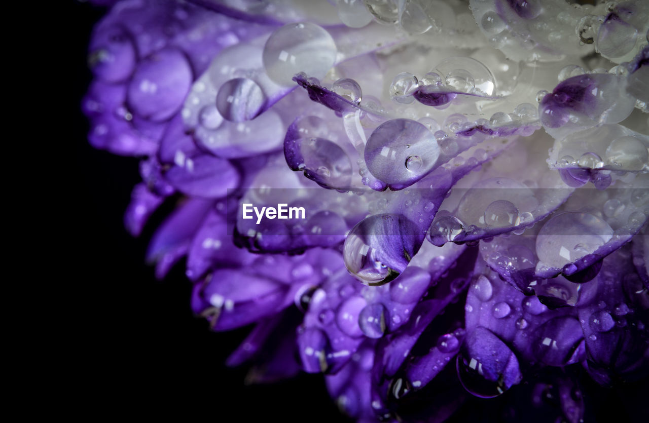 purple, close-up, drop, petal, flower, flowering plant, vulnerability, freshness, beauty in nature, wet, water, fragility, plant, inflorescence, flower head, no people, nature, black background, growth, dew, raindrop, purity