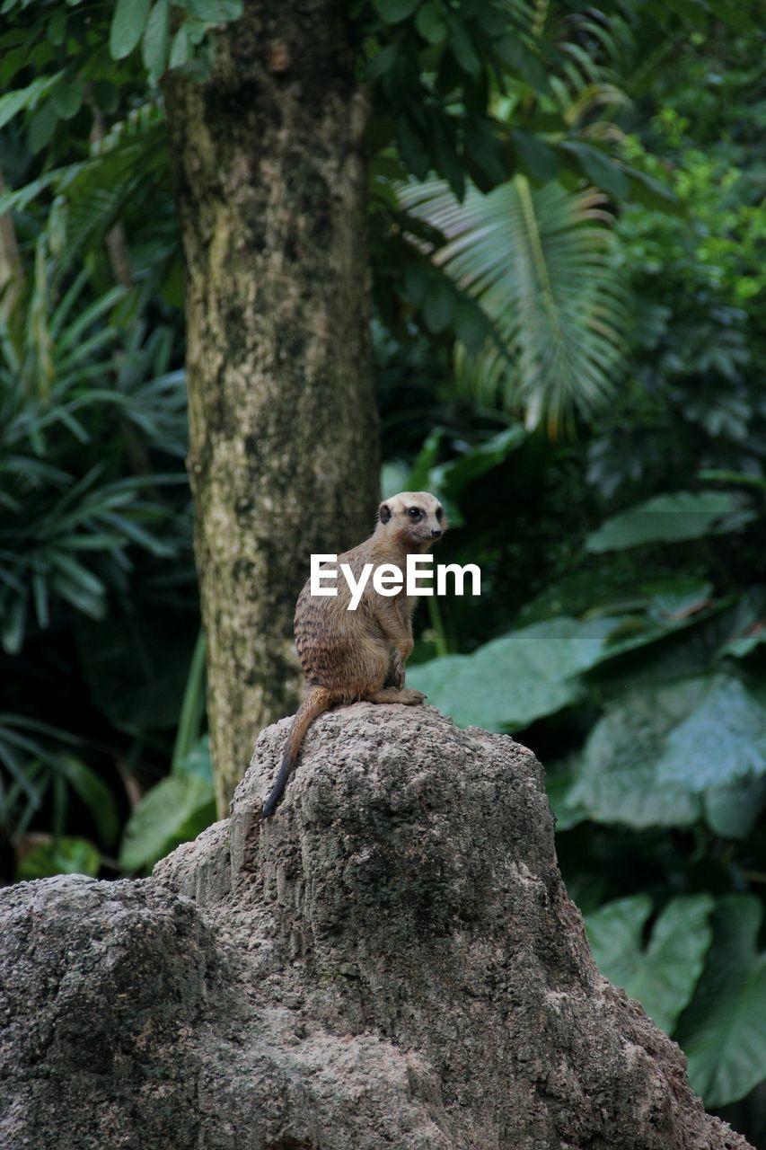 Meerkat On Rock Against Trees At Zoo