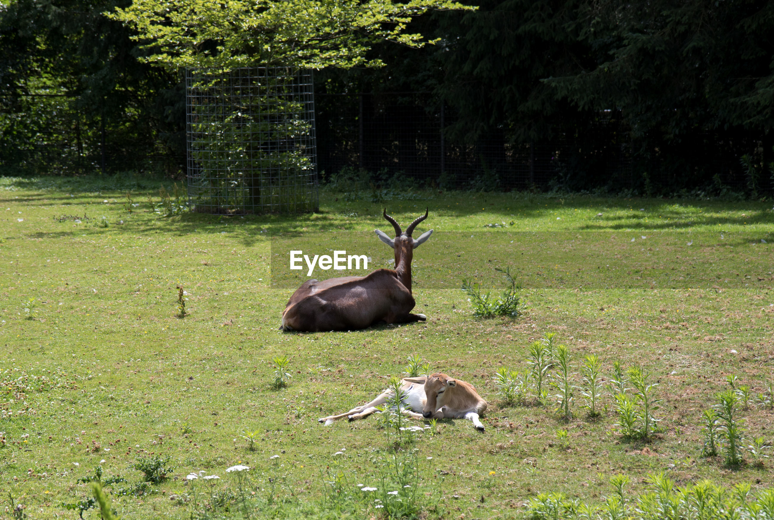 DEER ON A FIELD