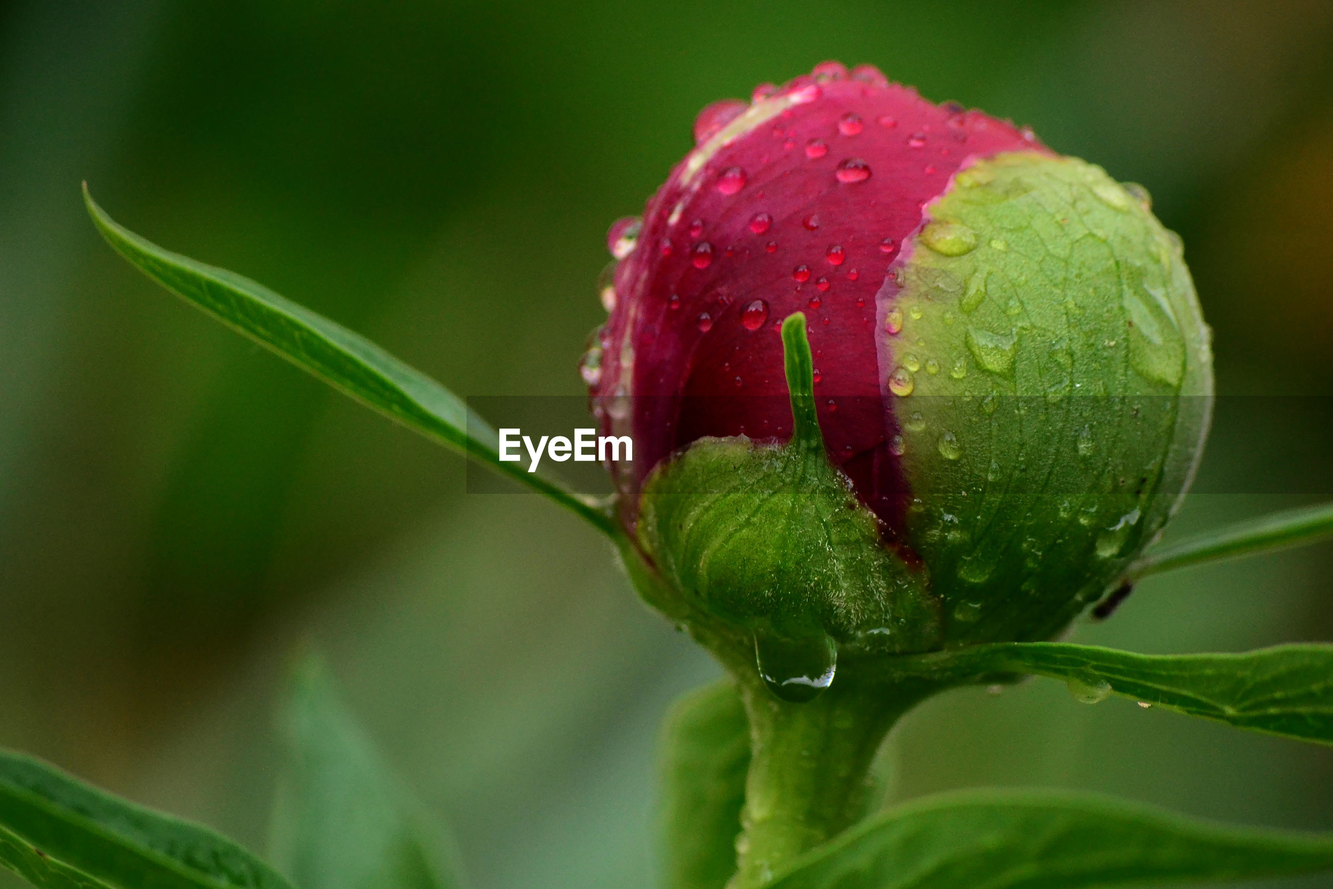 Close-up of wet red rose bud